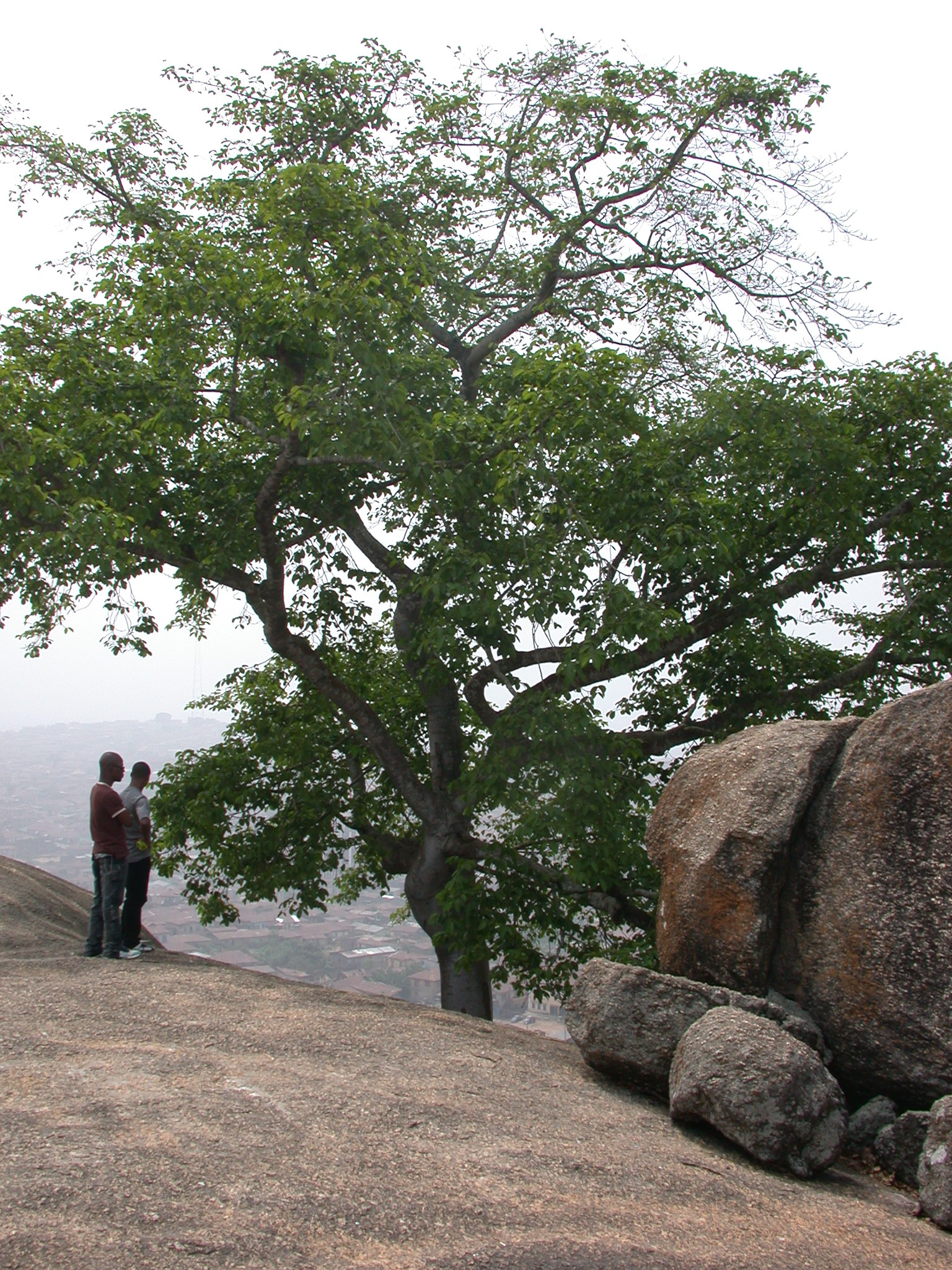 Iroko Crown Tree on Summit, Olumo Rock, Abeokuta, Nigeria