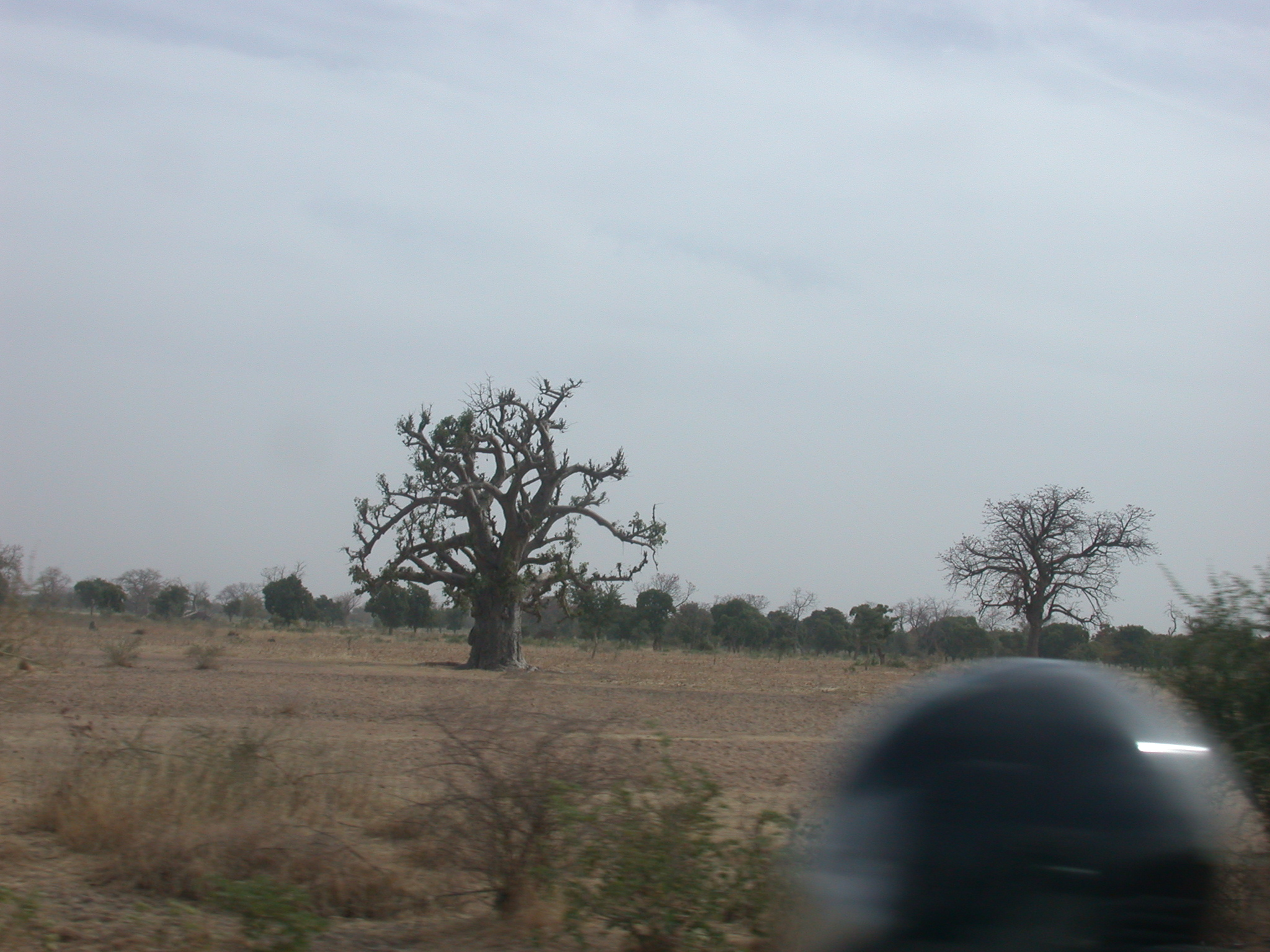 Baobabs on Route From Bamako to Timbuktu, Mali
