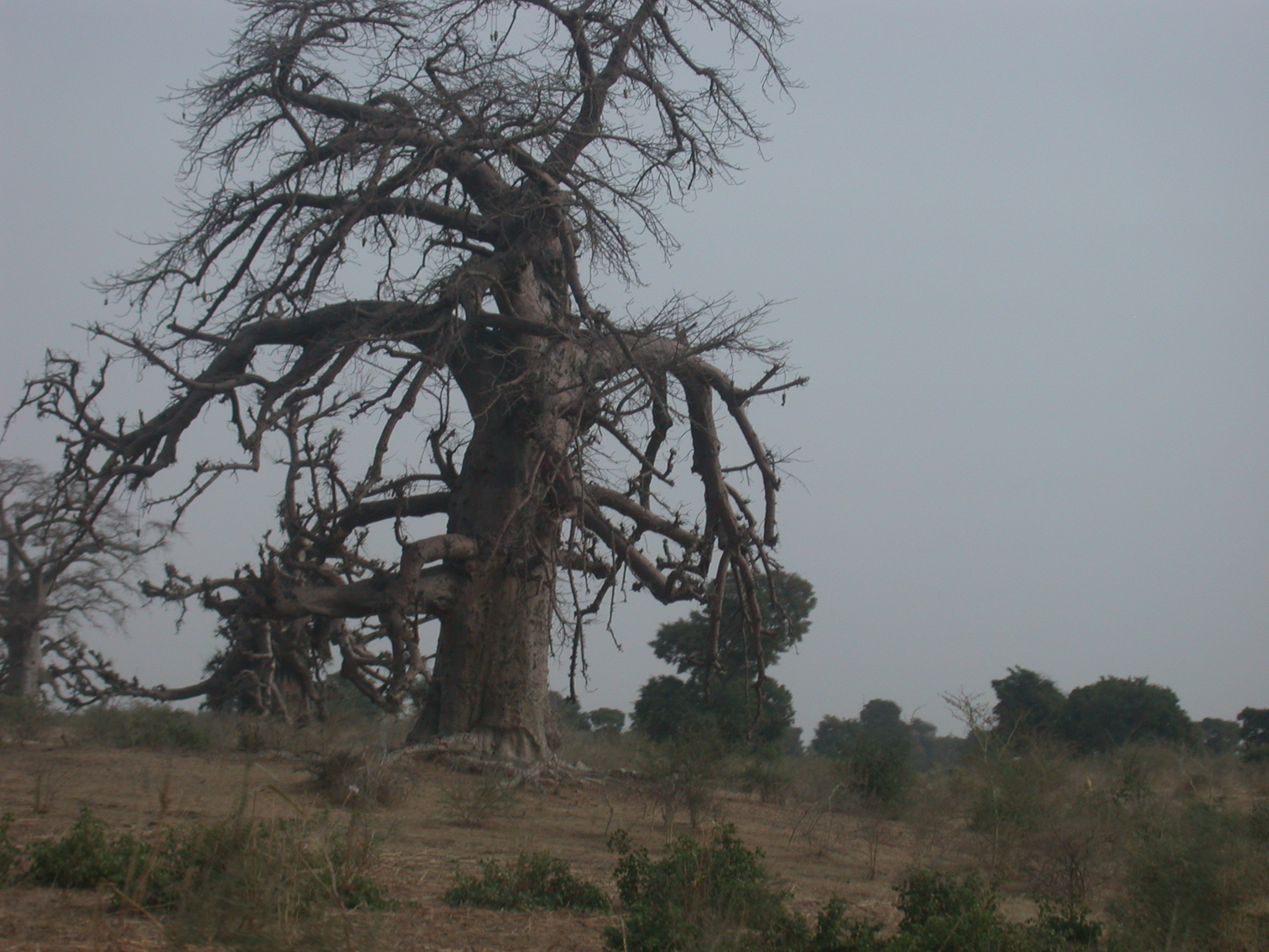 Baobab Trees on Route From Bamako to Timbuktu, Mali