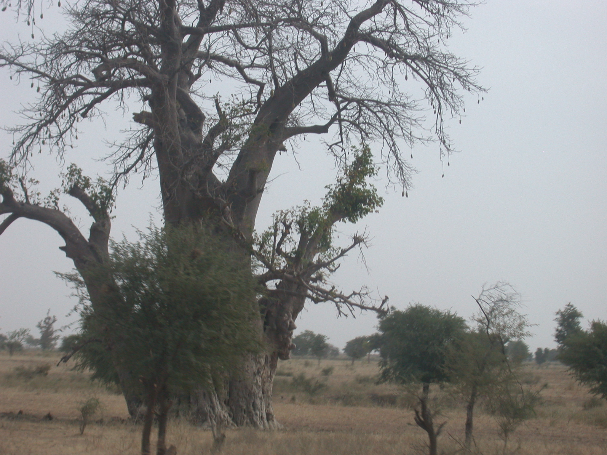 Baobab Tree on Route From Bamako to Timbuktu, Mali