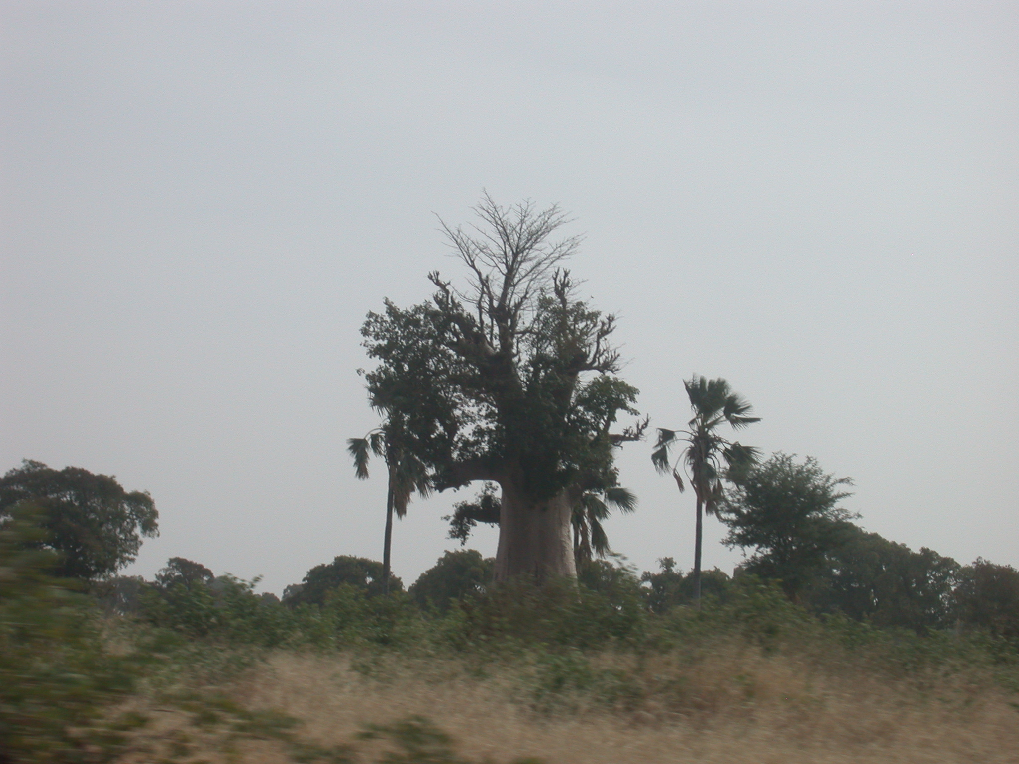 Baobab Tree and Palm Trees on Route From Bamako to Timbuktu, Mali