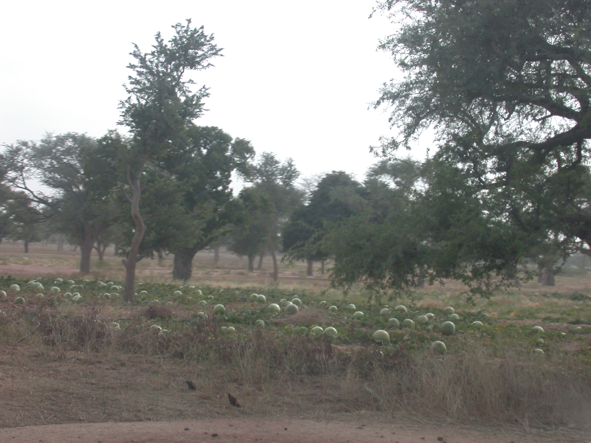 Melons Growing on Route From Bamako to Timbuktu, Mali