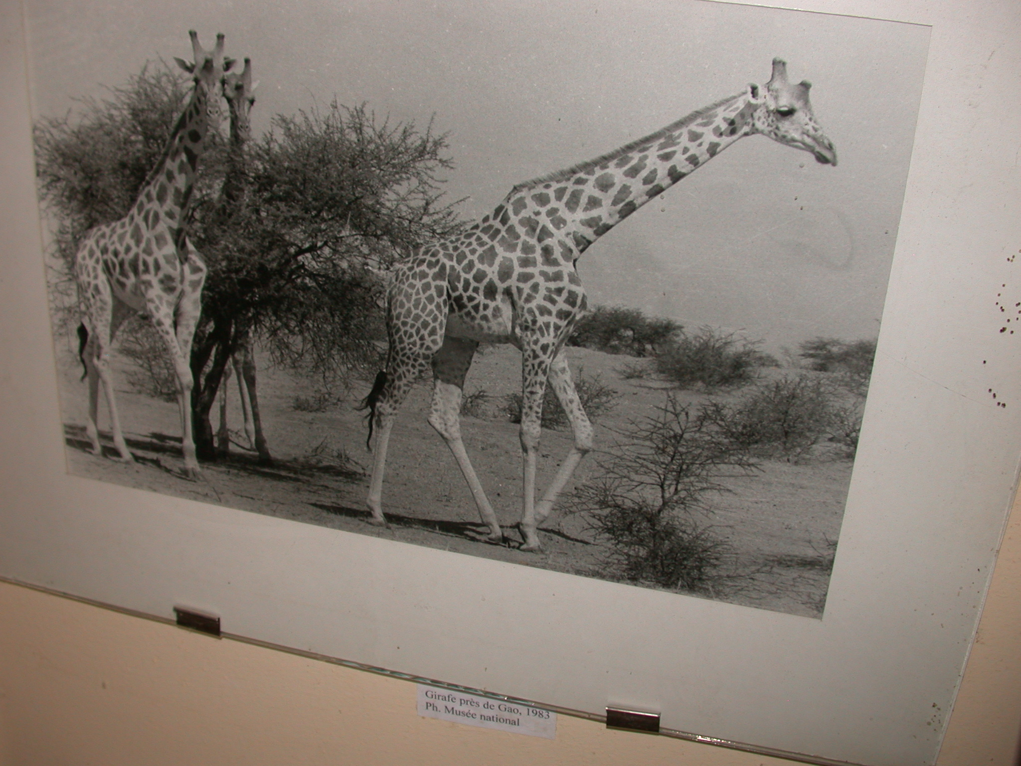 Photo of Giraffes Near Gao in 1983, Timbuktu Ethnological Museum, Timbuktu, Mali