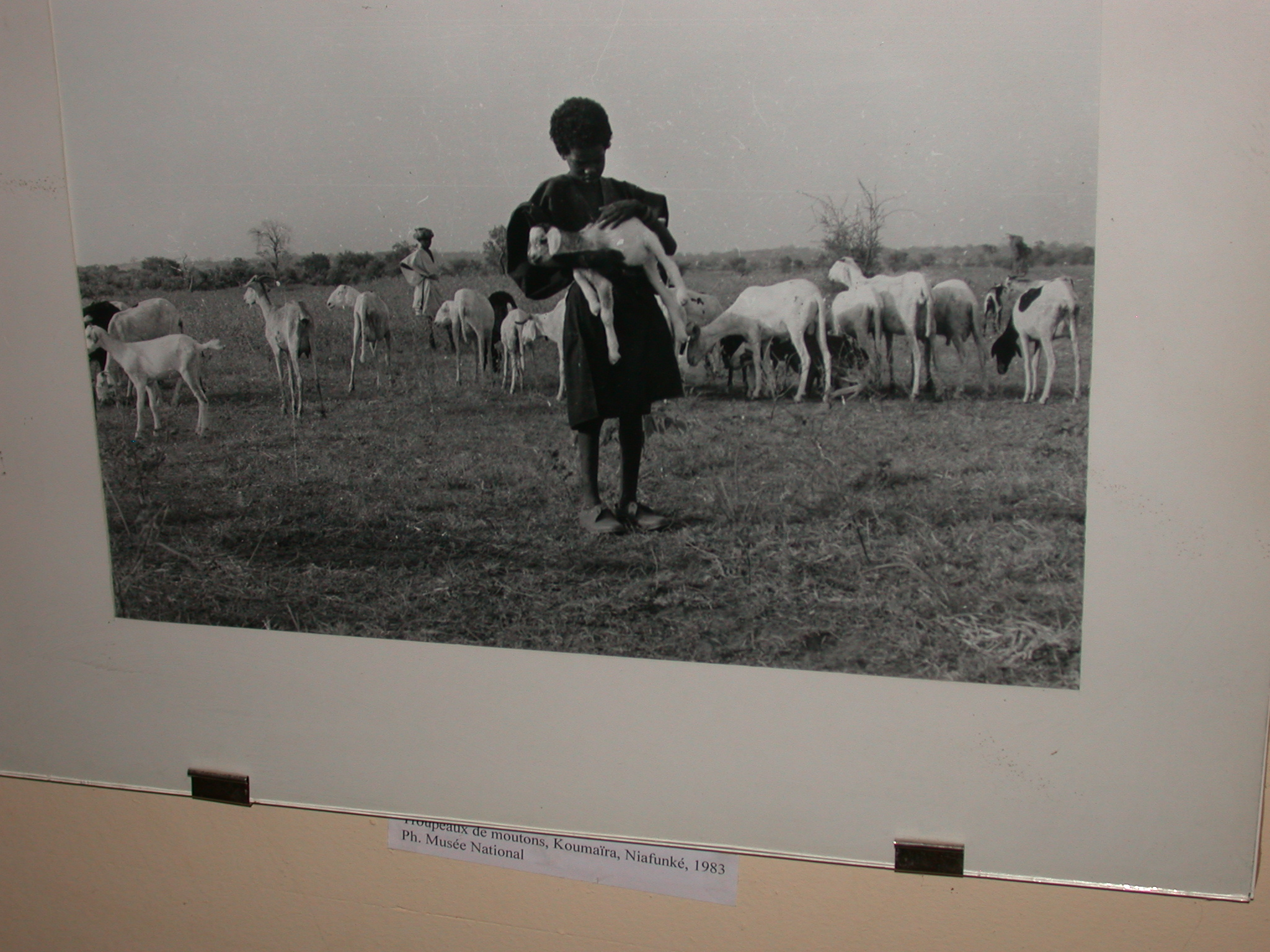 Photo of Flock of Sheep, Koumaïra, Niafunké, 1983, Timbuktu Ethnological Museum, Timbuktu, Mali