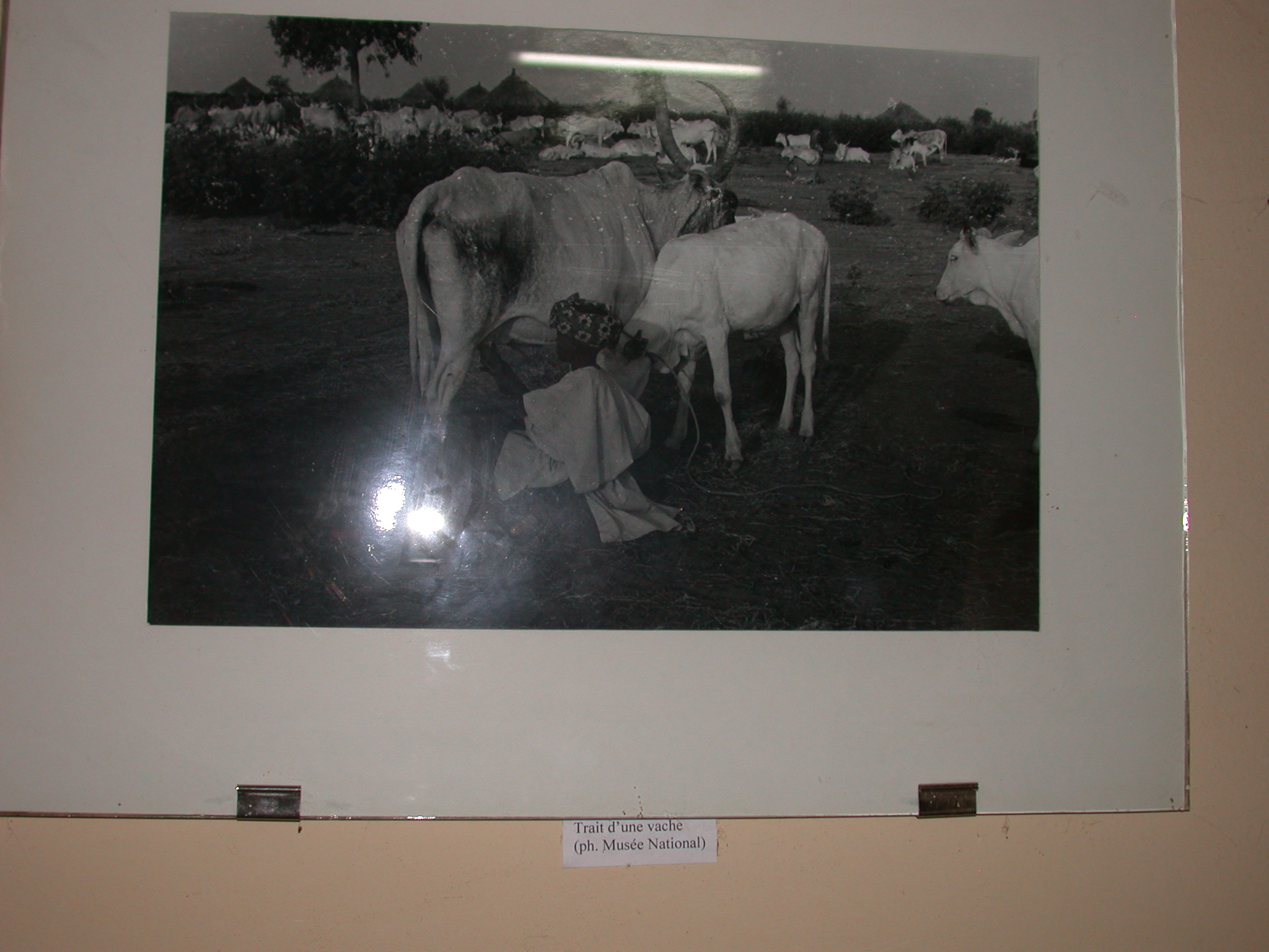Photo of Milking a Cow, Timbuktu Ethnological Museum, Timbuktu, Mali