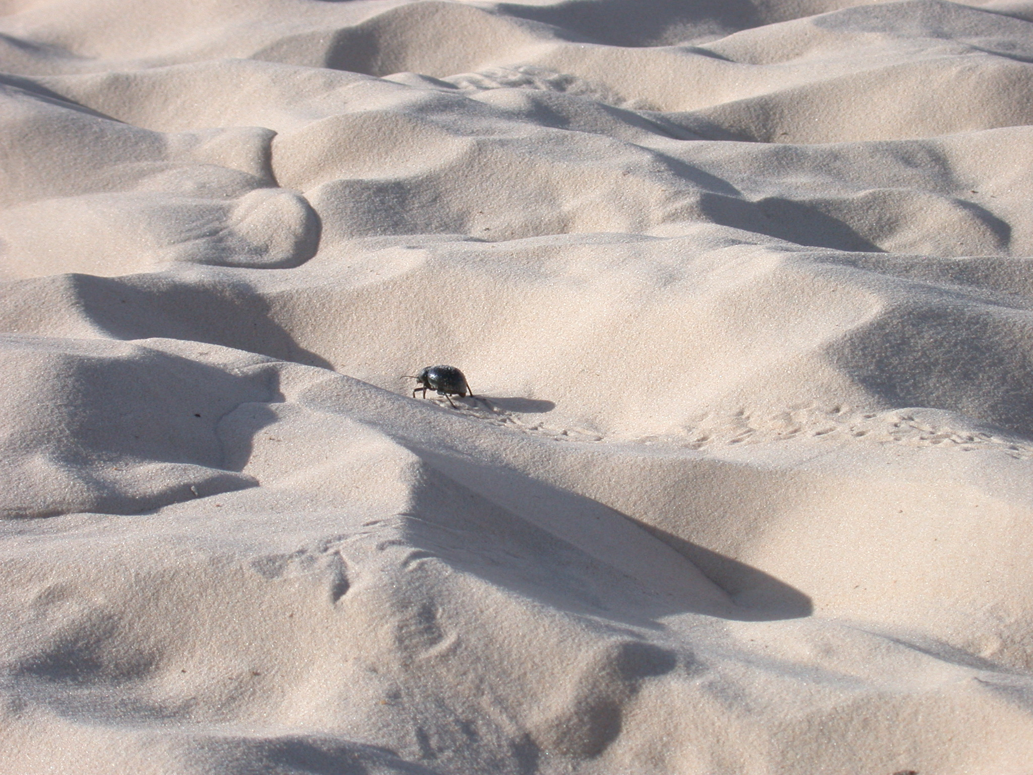 Dung Beetle Leaving Tracks in the Sand, Festival in the Desert, Essakane, Mali