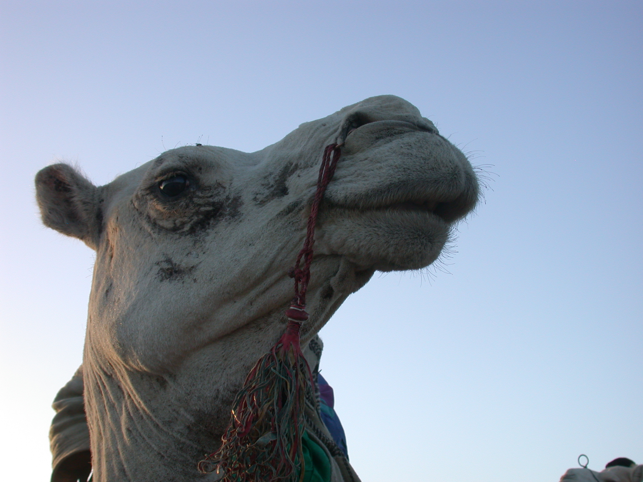 Camel in Profile, Festival in the Desert, Essakane, Mali