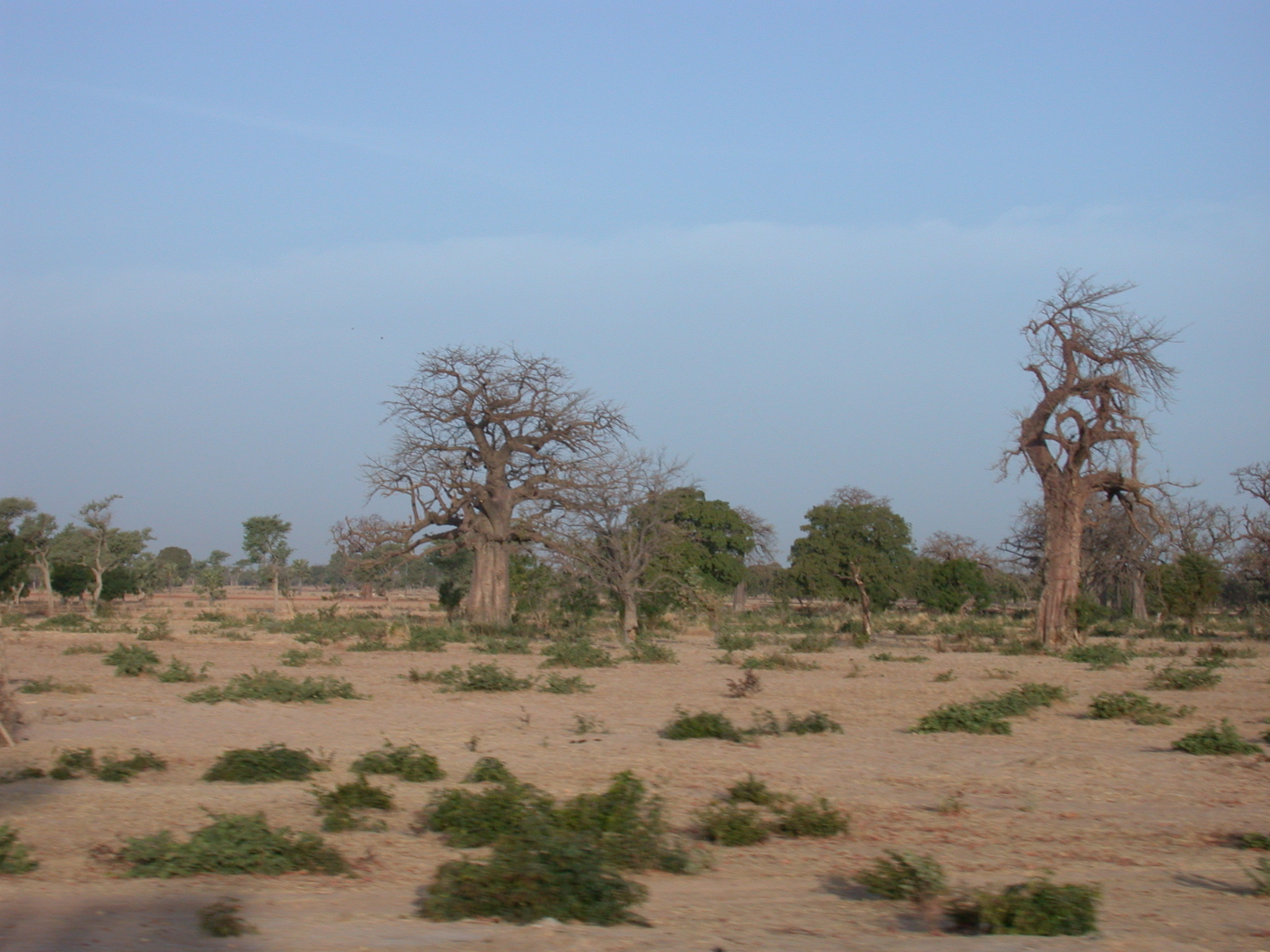 Baobab Trees on Route From Timbuktu to Bamako, Mali
