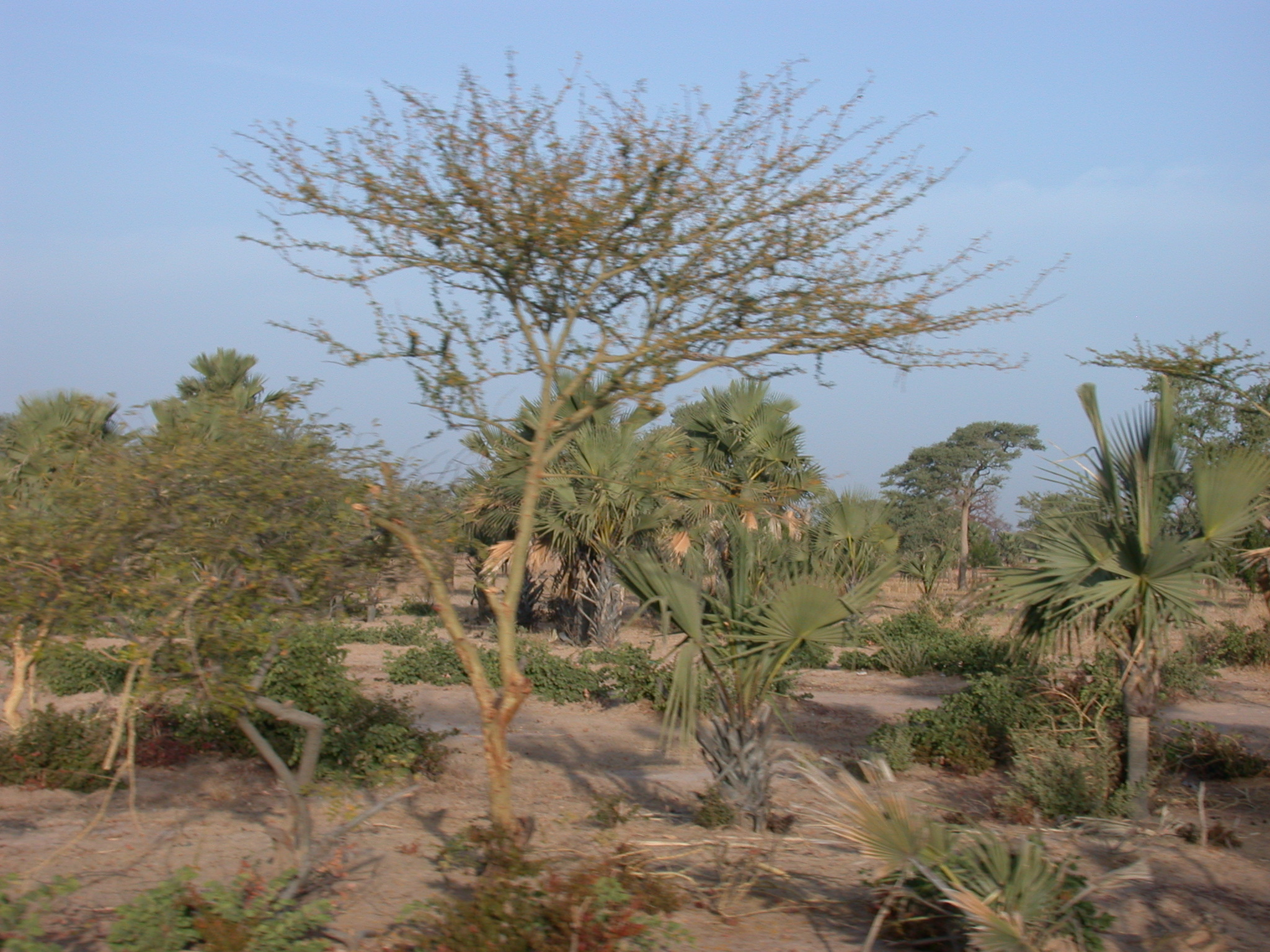 Scrub and Palms on Route From Timbuktu to Bamako, Mali