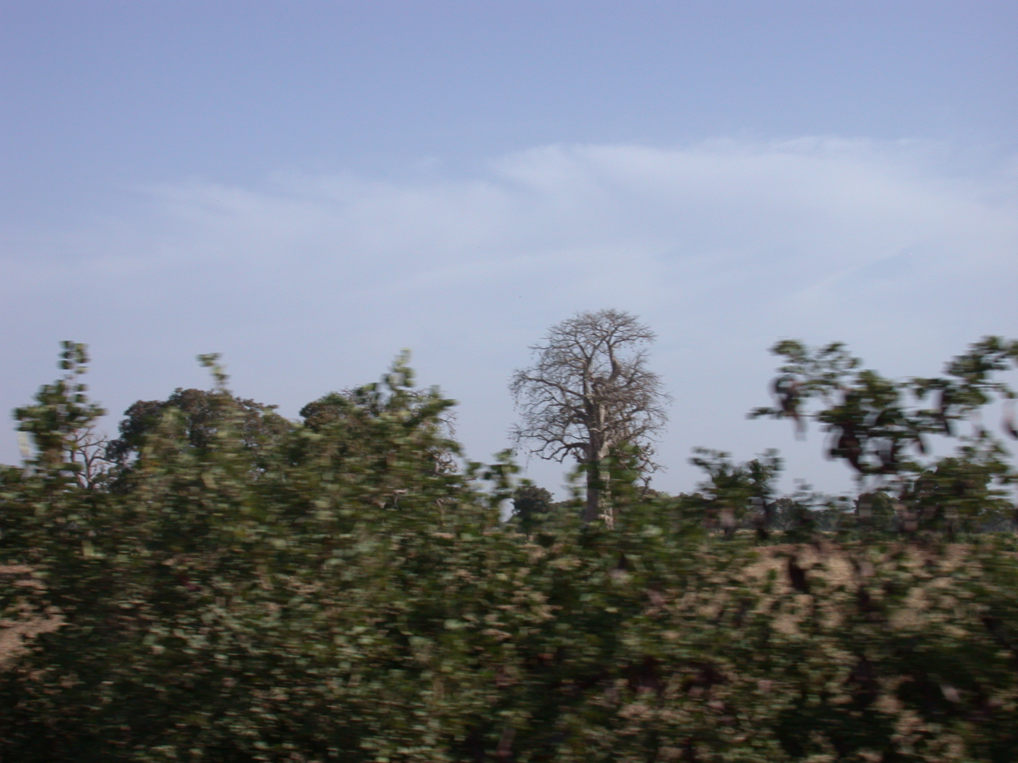 Baobab Tree on Route From Timbuktu to Bamako, Mali