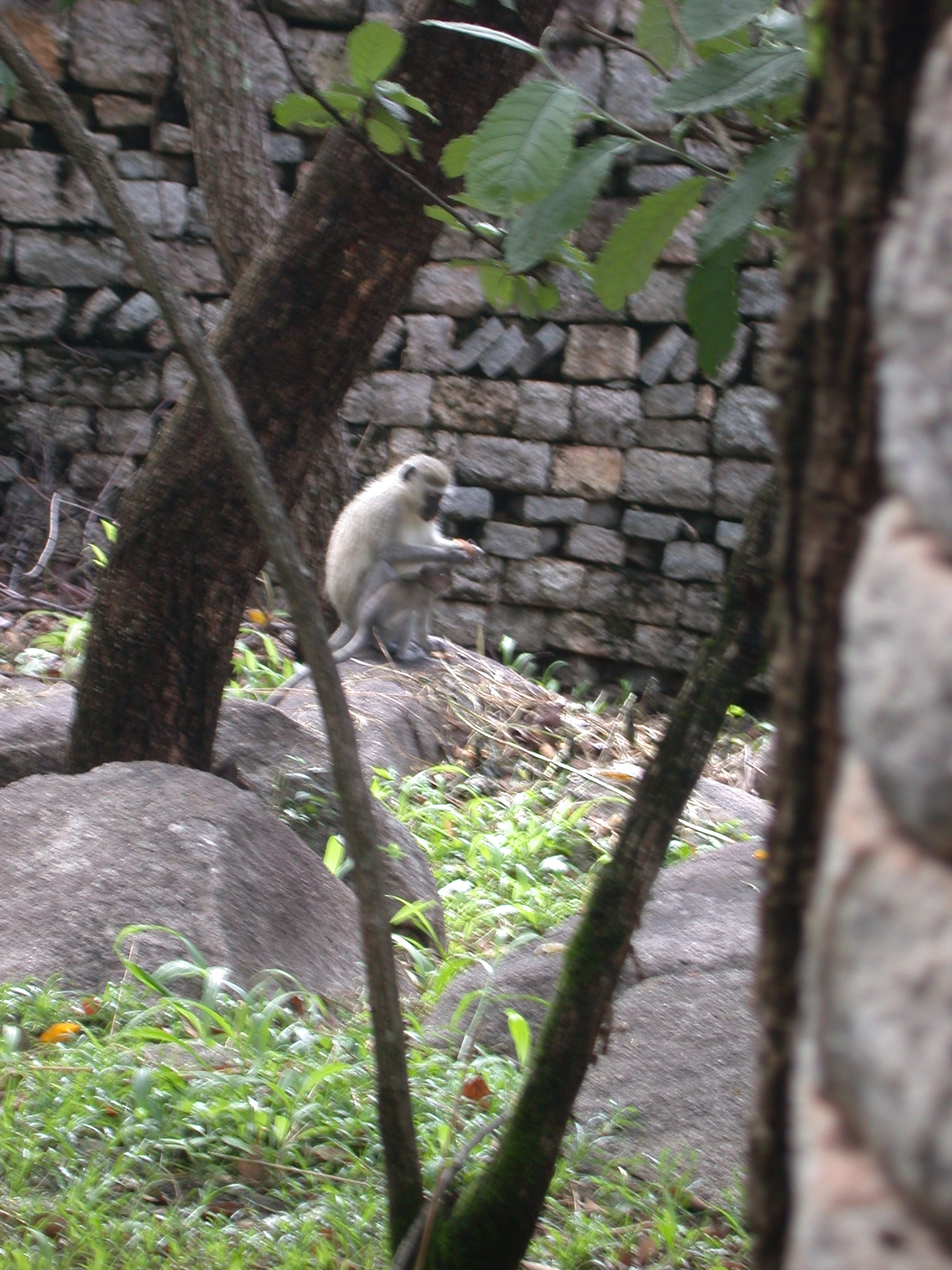 Monkey and Baby in Garden Outside My Suite at the Ancient City Lodge, Great Zimbabwe, Outside Masvingo, Zimbabwe