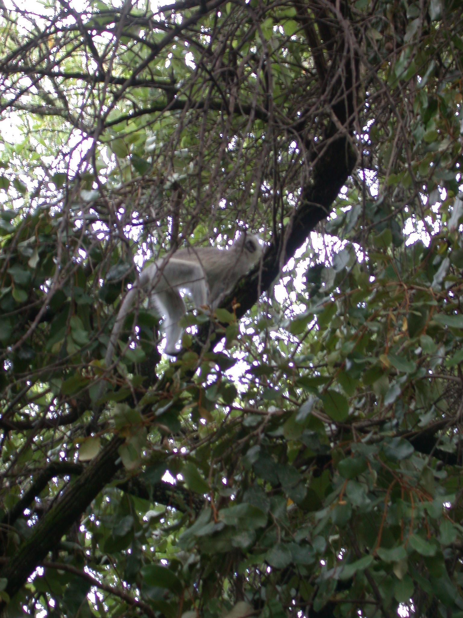 Monkey in Tree Outside My Suite at the Ancient City Lodge, Great Zimbabwe, Outside Masvingo, Zimbabwe