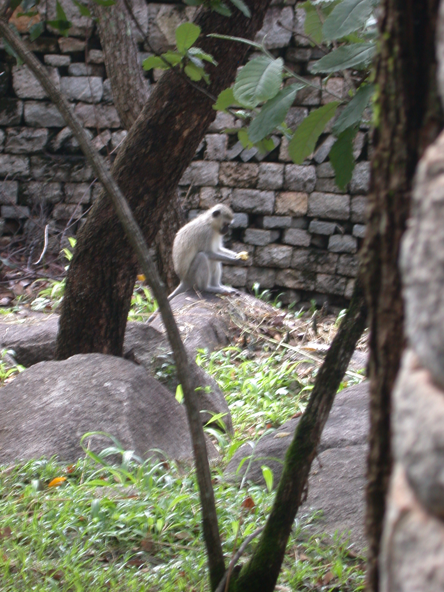 Monkey Opening Fruit in Garden Outside My Suite at the Ancient City Lodge, Great Zimbabwe, Outside Masvingo, Zimbabwe