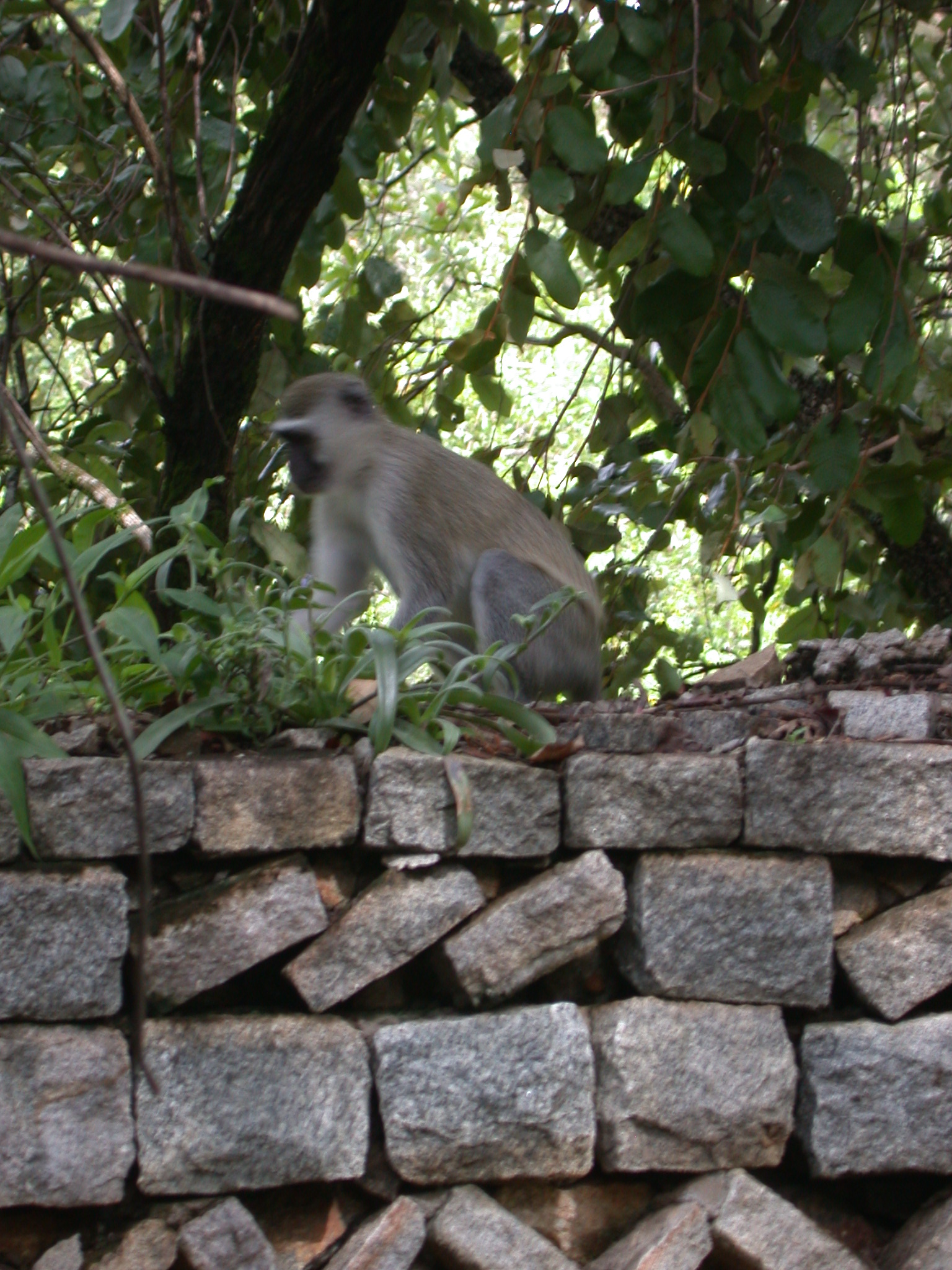 Monkey on Garden Wall Outside My Suite at the Ancient City Lodge, Great Zimbabwe, Outside Masvingo, Zimbabwe