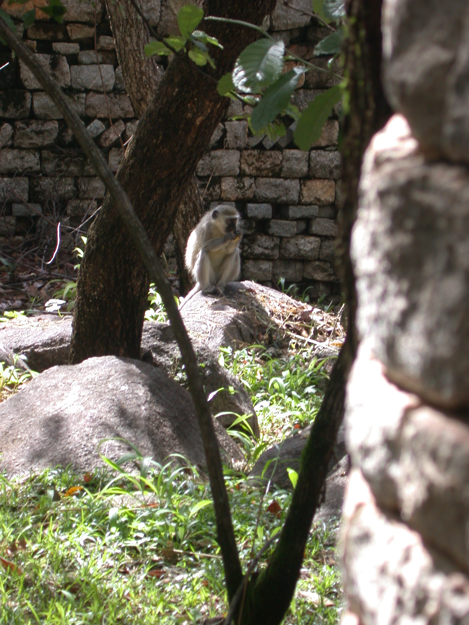 Monkey Eating Fruit in Garden Outside My Suite at the Ancient City Lodge, Great Zimbabwe, Outside Masvingo, Zimbabwe