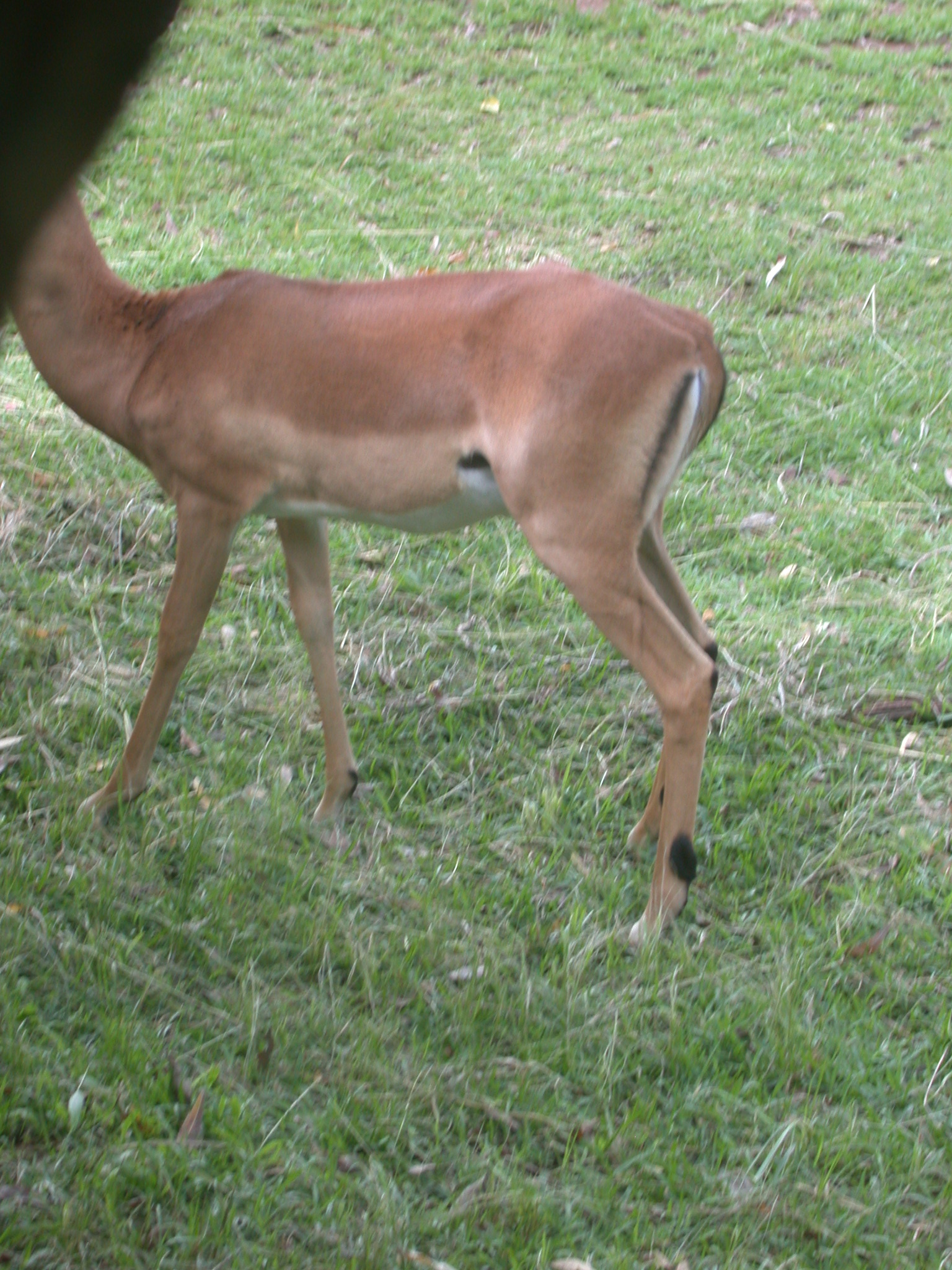 Body of Impala Grazing in Meadow Outside My Suite at the Ancient City Lodge, Great Zimbabwe, Outside Masvingo, Zimbabwe