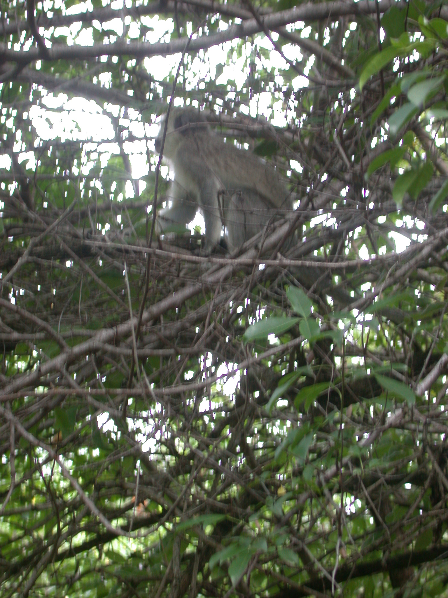 Monkey Climbing Tree in Garden Outside My Suite at the Ancient City Lodge, Great Zimbabwe, Outside Masvingo, Zimbabwe