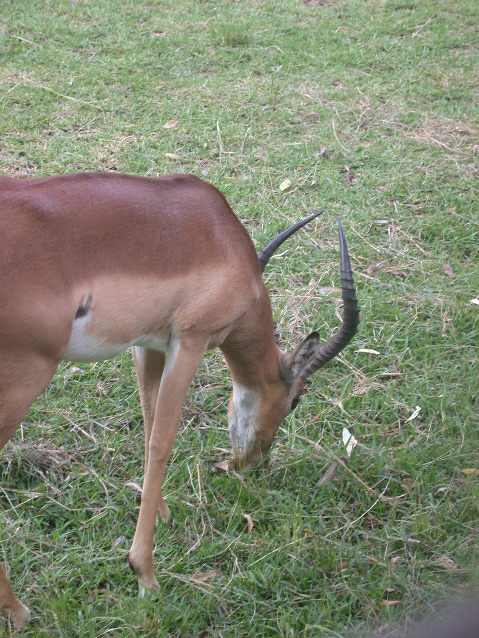 Impala Grazing in Meadow Outside My Suite at the Ancient City Lodge, Great Zimbabwe, Outside Masvingo, Zimbabwe
