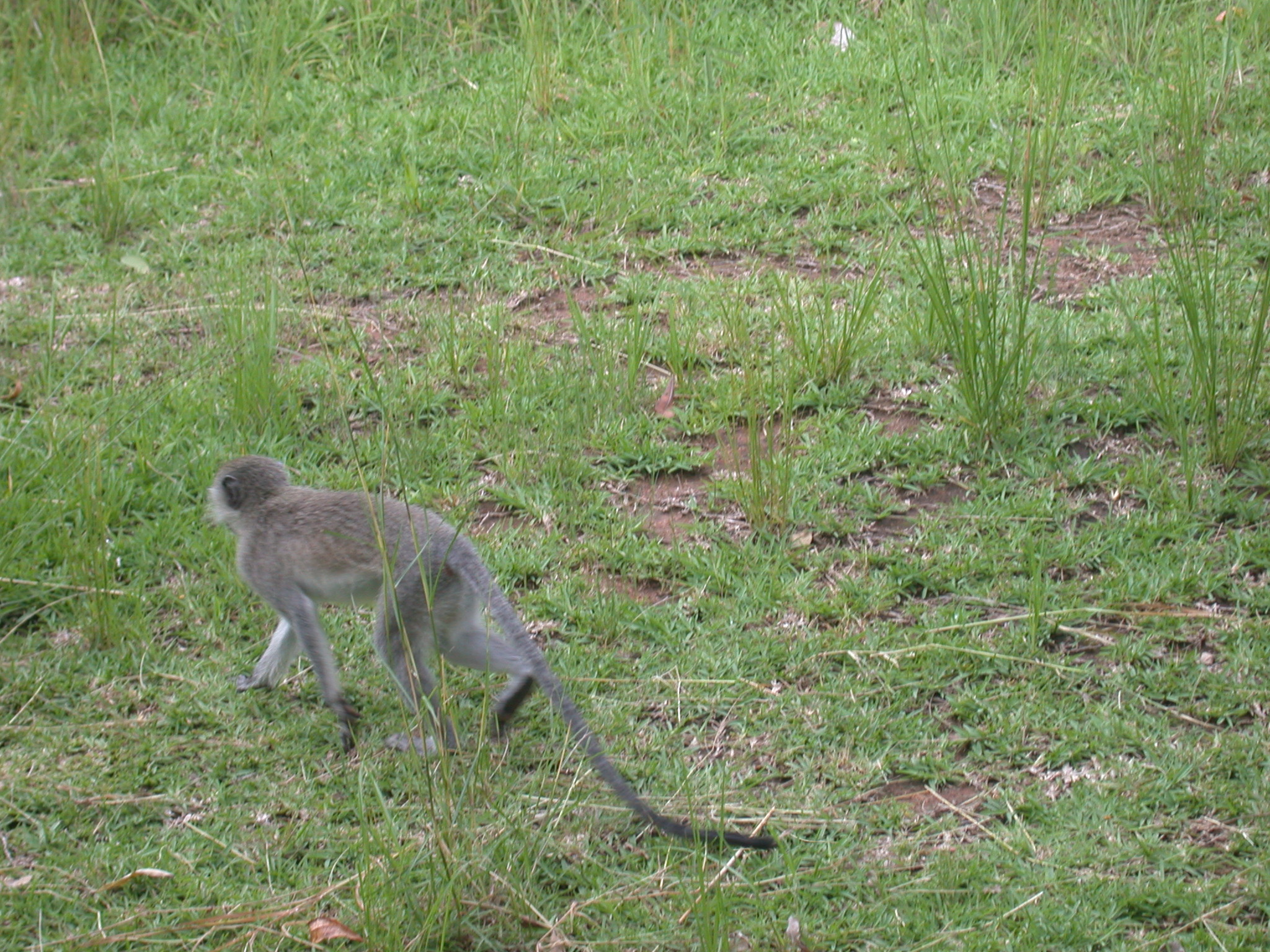 Monkey Crossing Meadow Outside My Suite at the Ancient City Lodge, Great Zimbabwe, Outside Masvingo, Zimbabwe