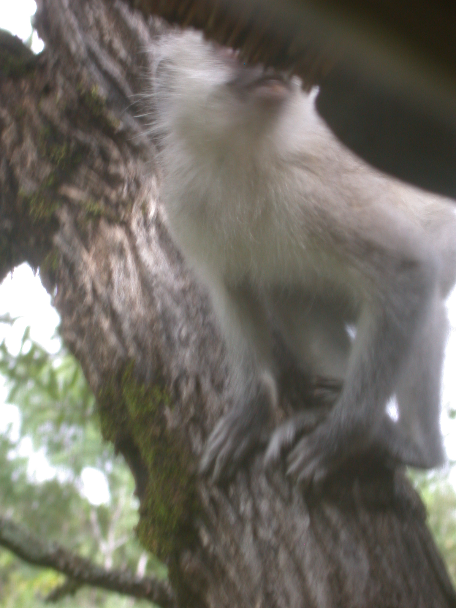 Monkey Outside Window of My Suite at the Ancient City Lodge, Great Zimbabwe, Outside Masvingo, Zimbabwe