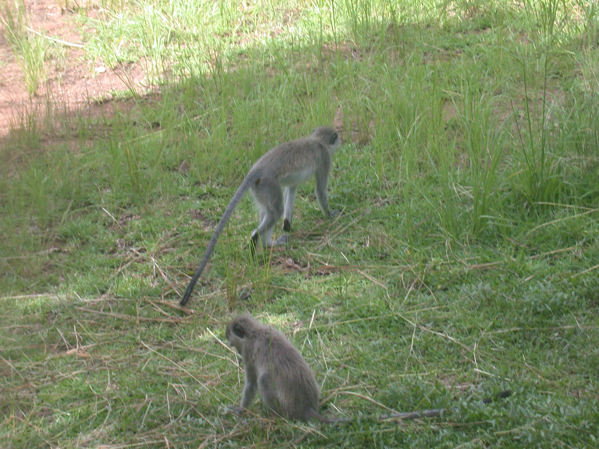 Monkeys in Meadow Outside My Suite at the Ancient City Lodge, Great Zimbabwe, Outside Masvingo, Zimbabwe