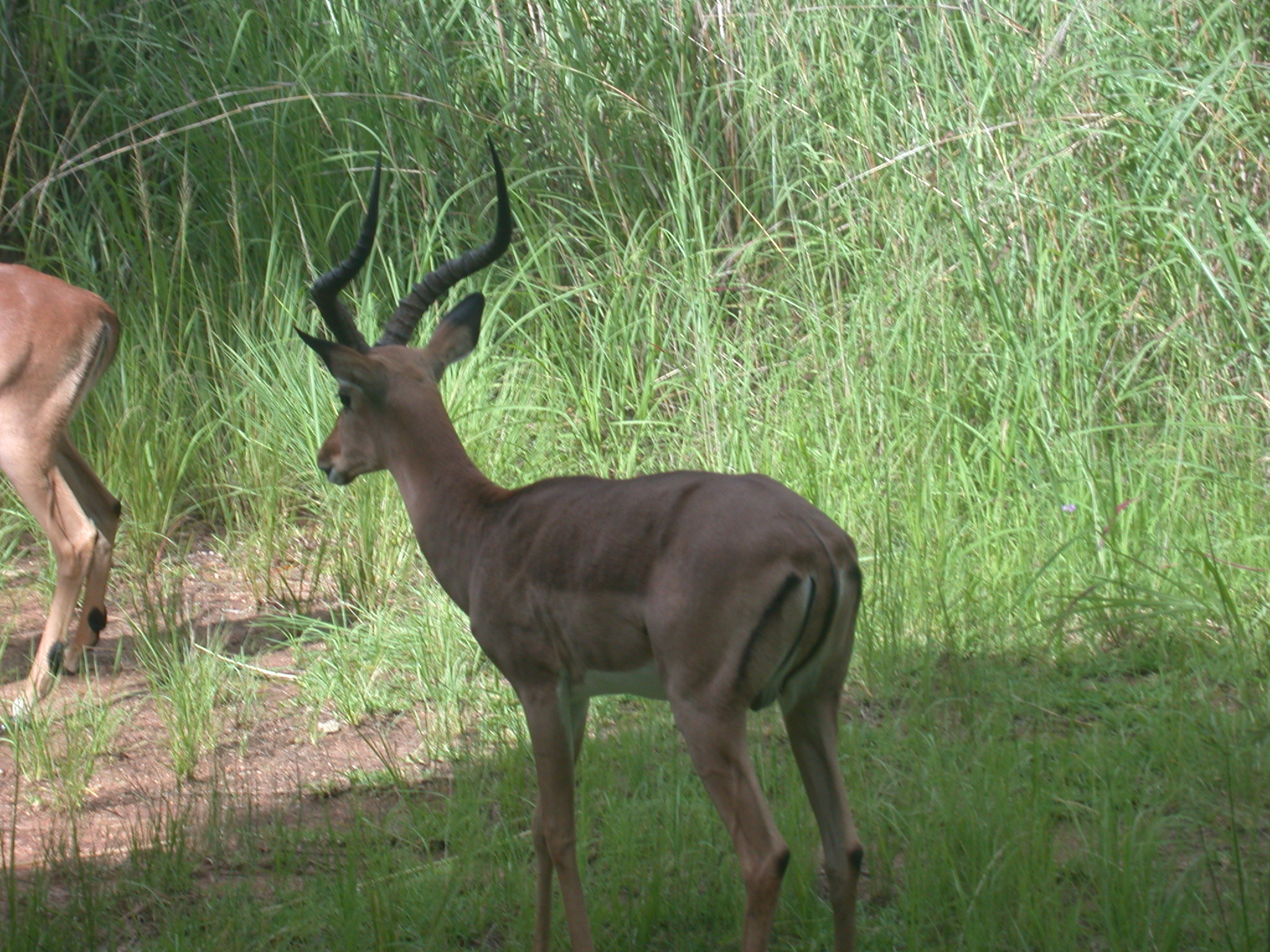 Impala in Meadow Outside My Suite at the Ancient City Lodge, Great Zimbabwe, Outside Masvingo, Zimbabwe