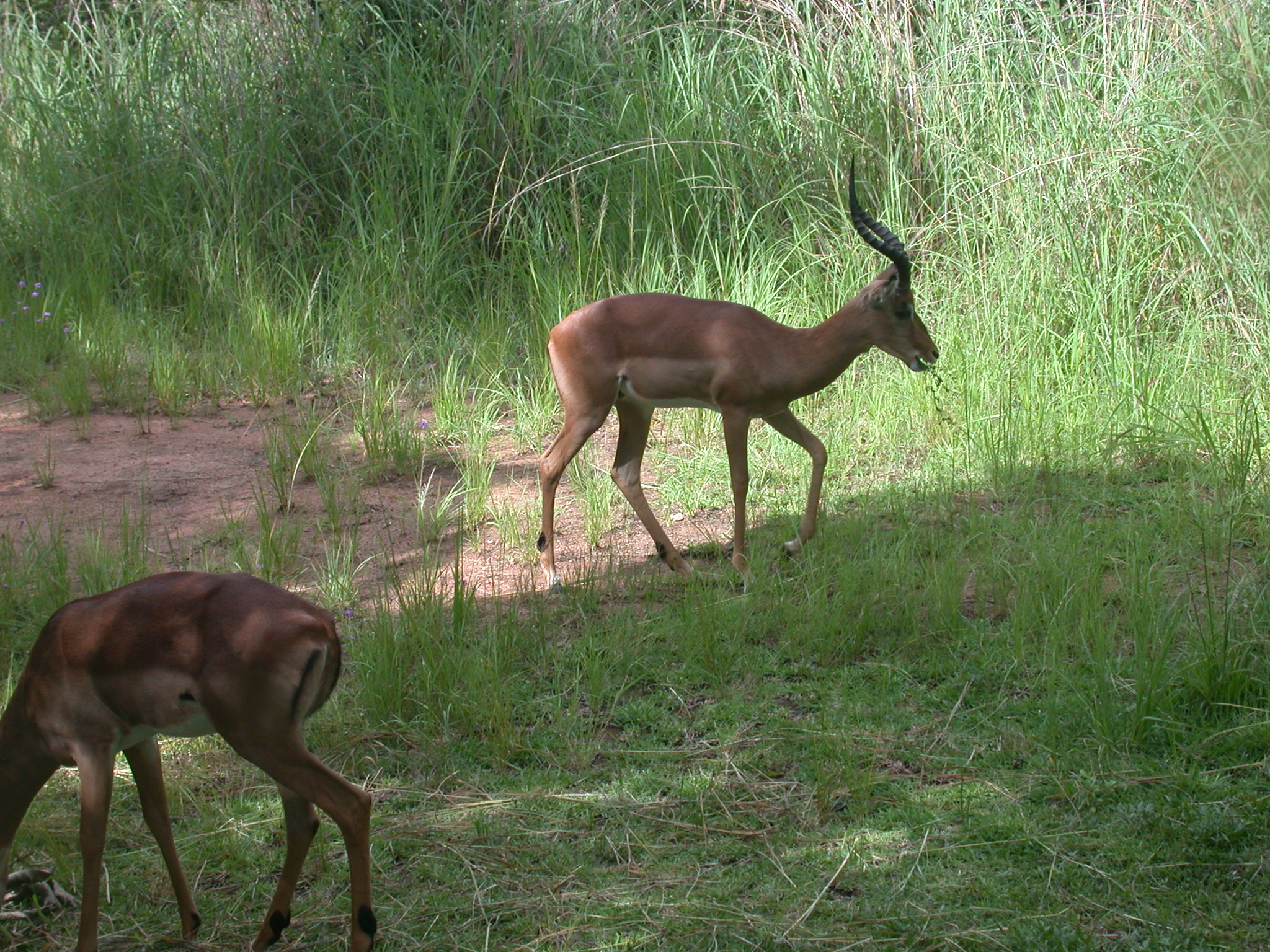 Impalas Grazing in Meadow Outside My Suite at the Ancient City Lodge, Great Zimbabwe, Outside Masvingo, Zimbabwe