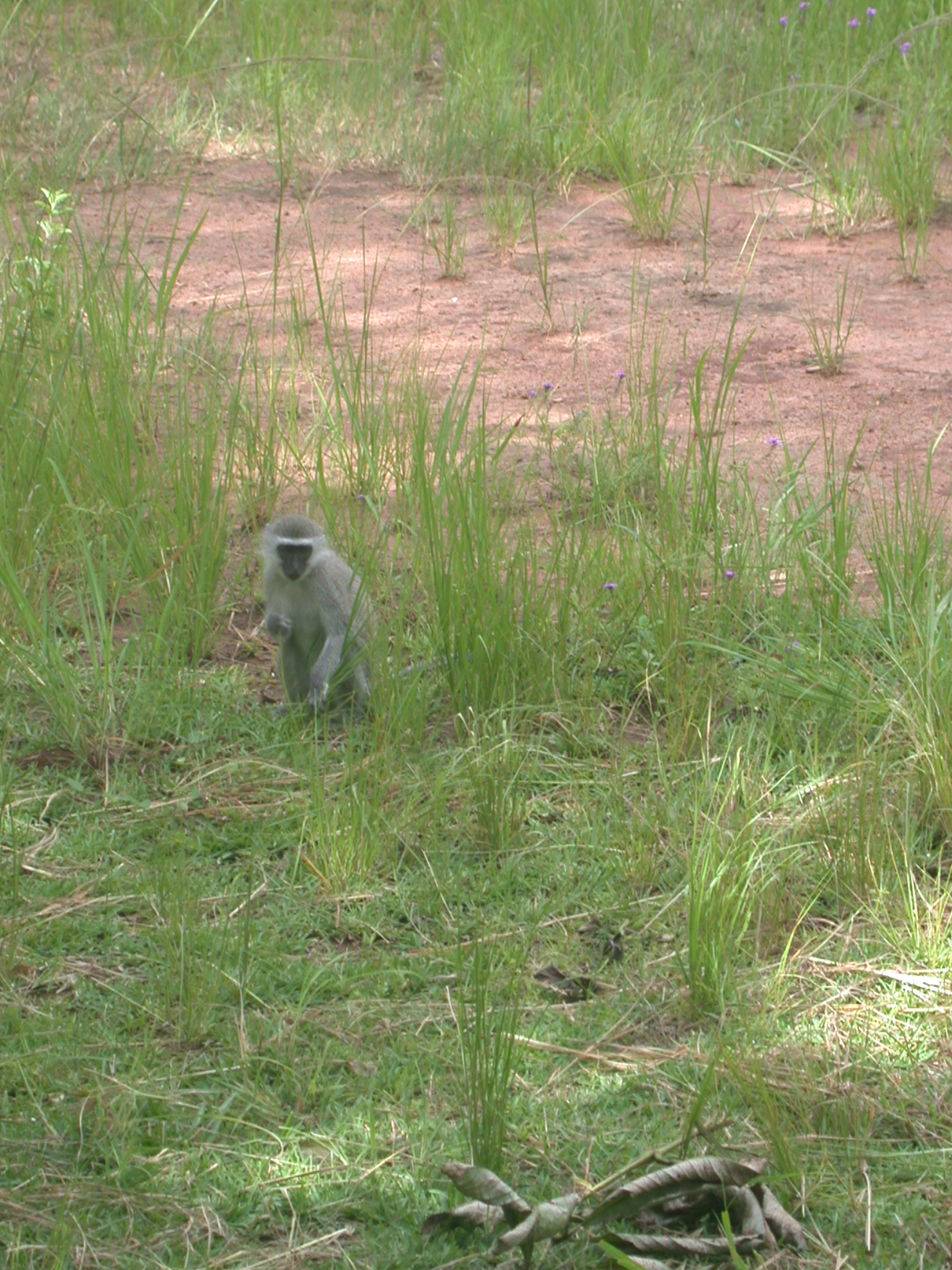 Baby Monkey in Meadow Outside My Suite at the Ancient City Lodge, Great Zimbabwe, Outside Masvingo, Zimbabwe