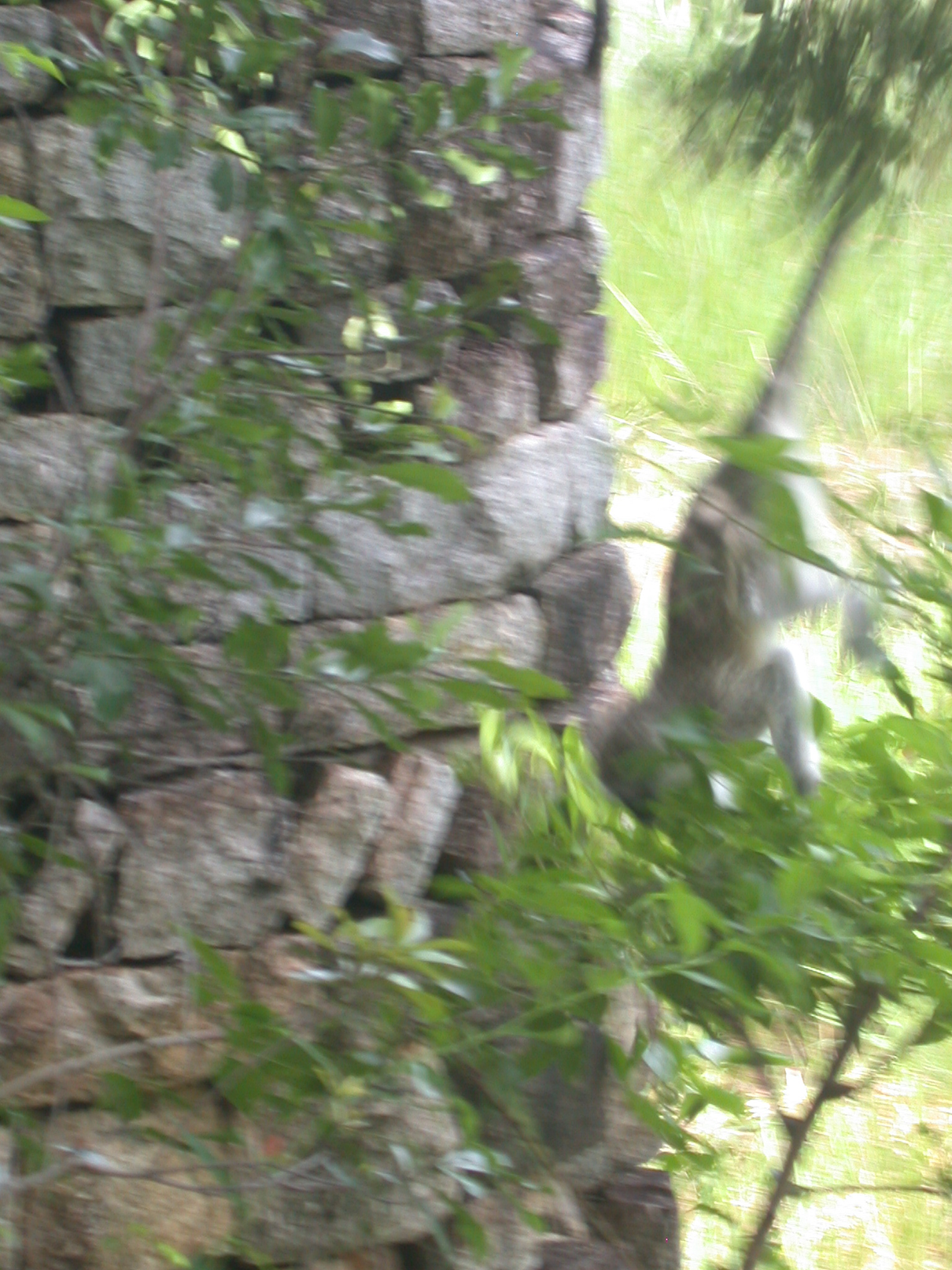 Monkey Jumping From Tree in Meadow Outside My Suite at the Ancient City Lodge, Great Zimbabwe, Outside Masvingo, Zimbabwe