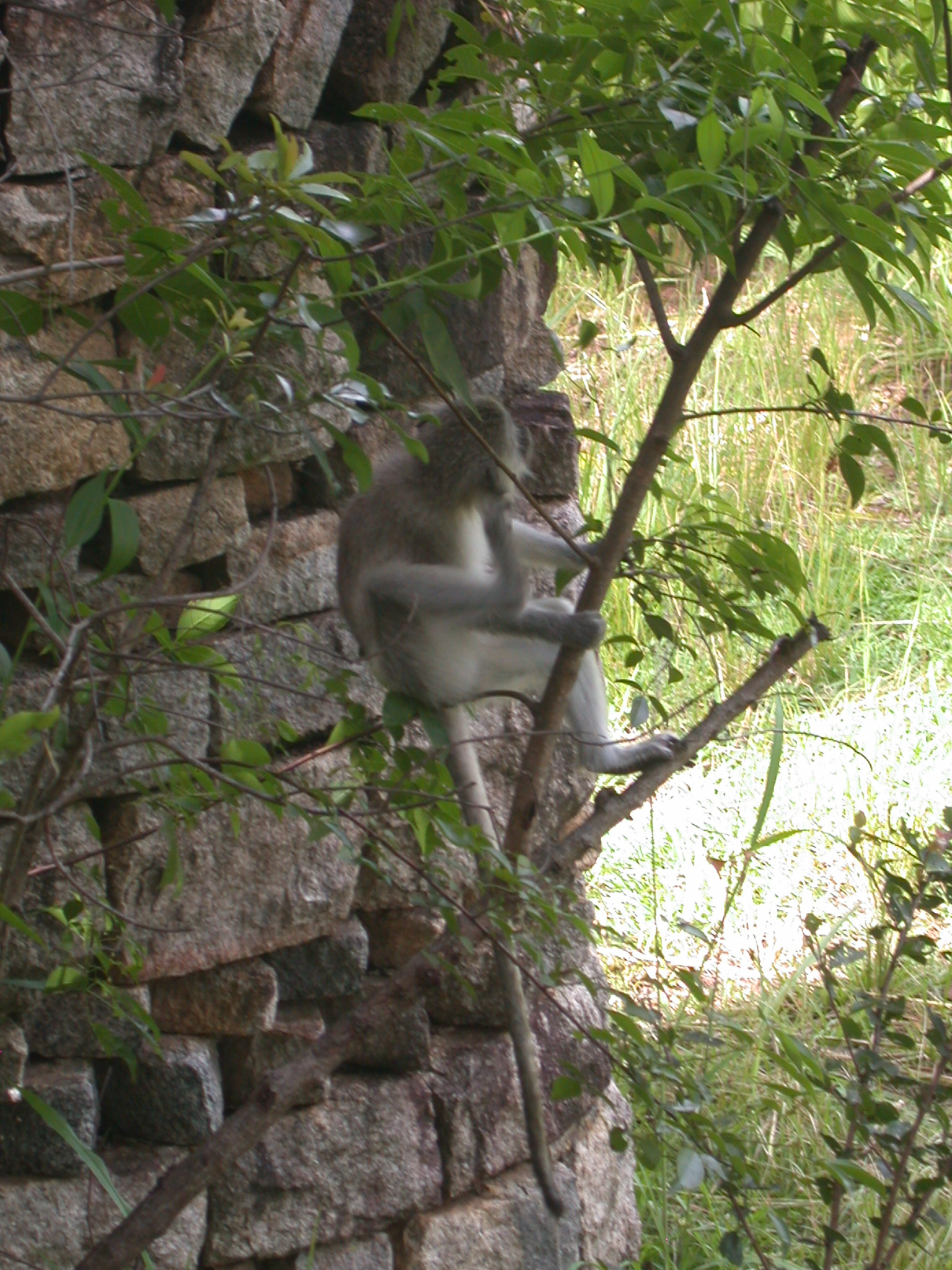 Monkey Climbing Tree in Meadow Outside My Suite at the Ancient City Lodge, Great Zimbabwe, Outside Masvingo, Zimbabwe