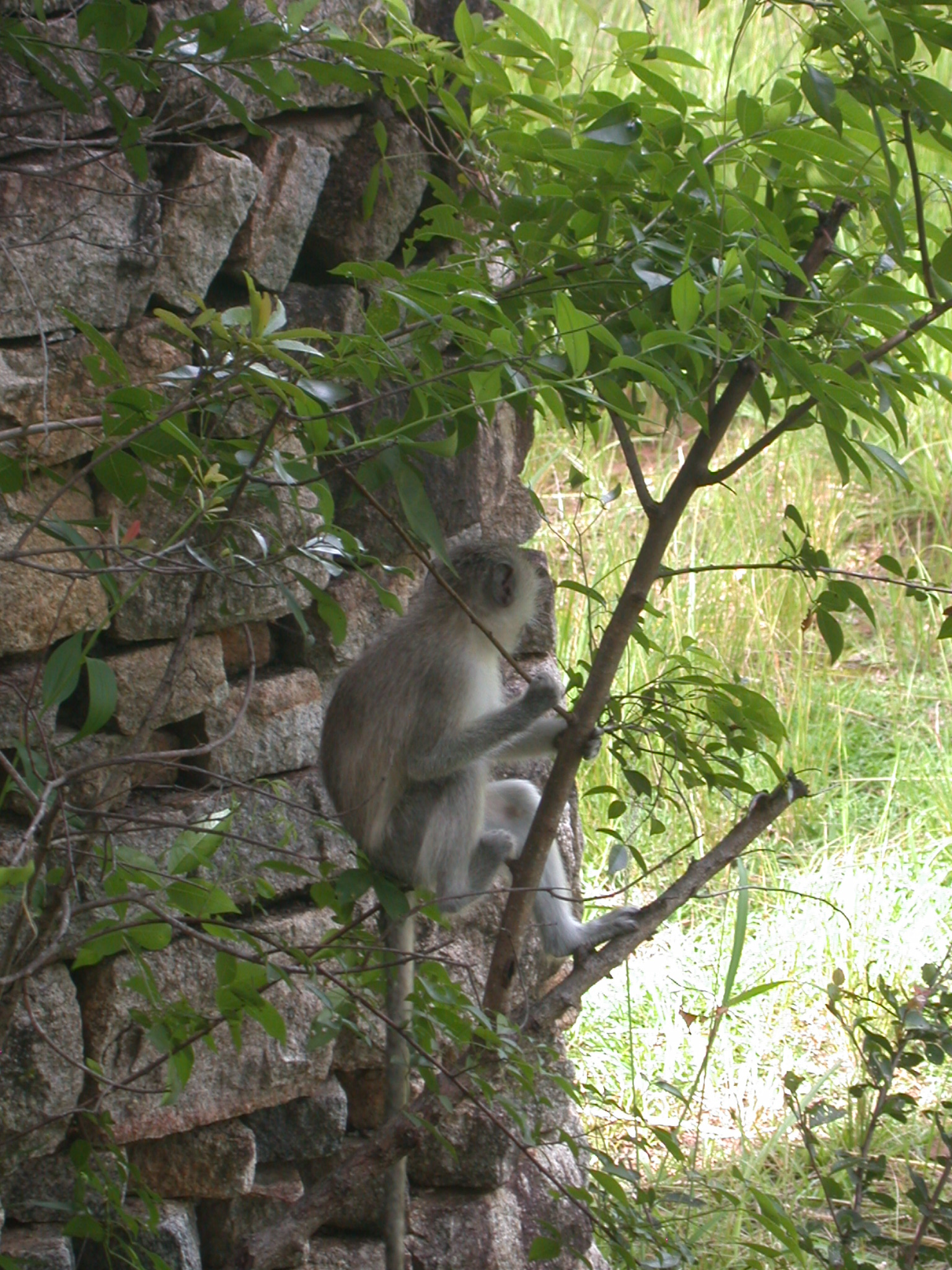 Monkey Perched in Tree in Meadow Outside My Suite at the Ancient City Lodge, Great Zimbabwe, Outside Masvingo, Zimbabwe