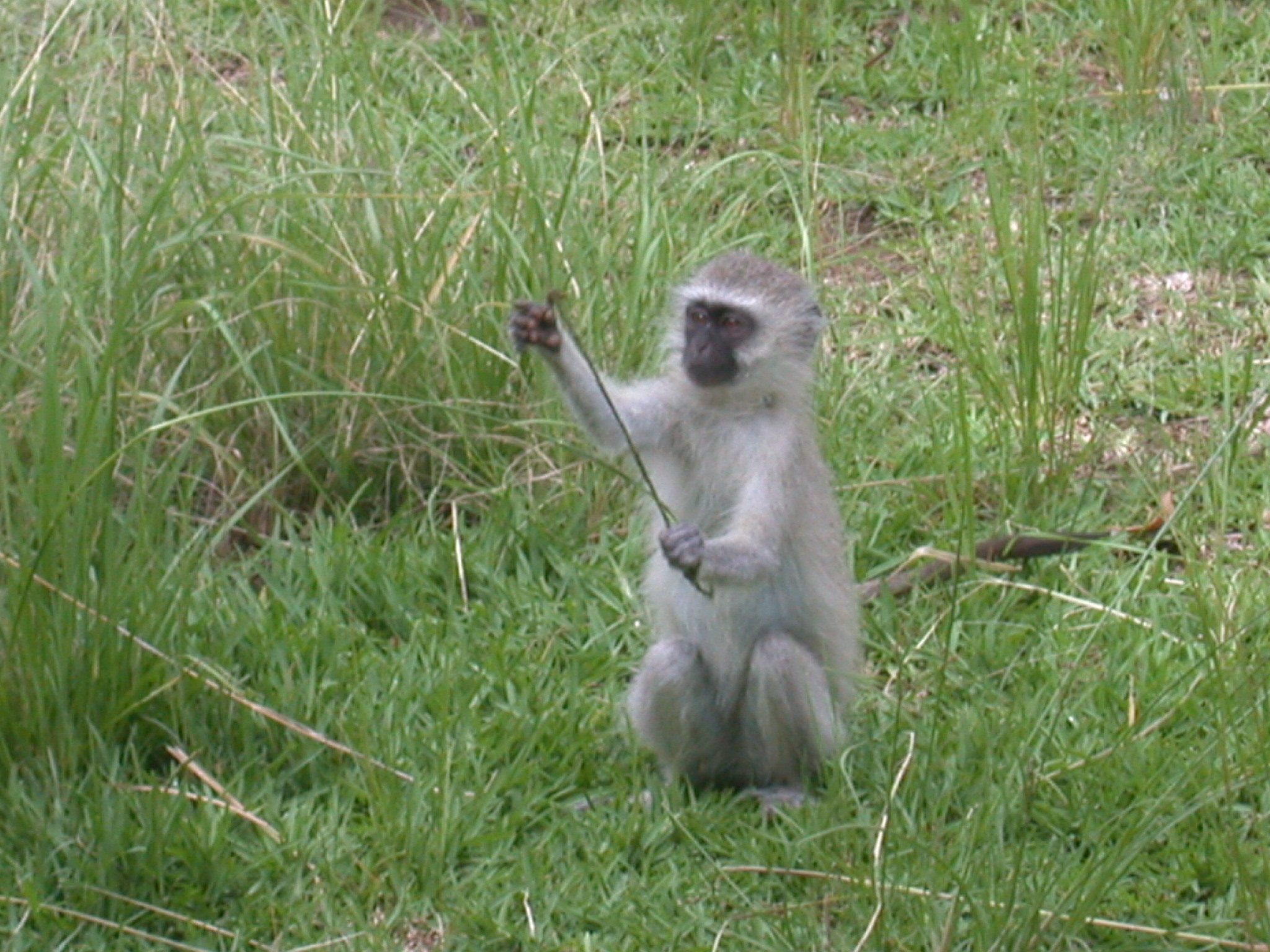 Monkey in Meadow Outside My Suite at the Ancient City Lodge, Great Zimbabwe, Outside Masvingo, Zimbabwe