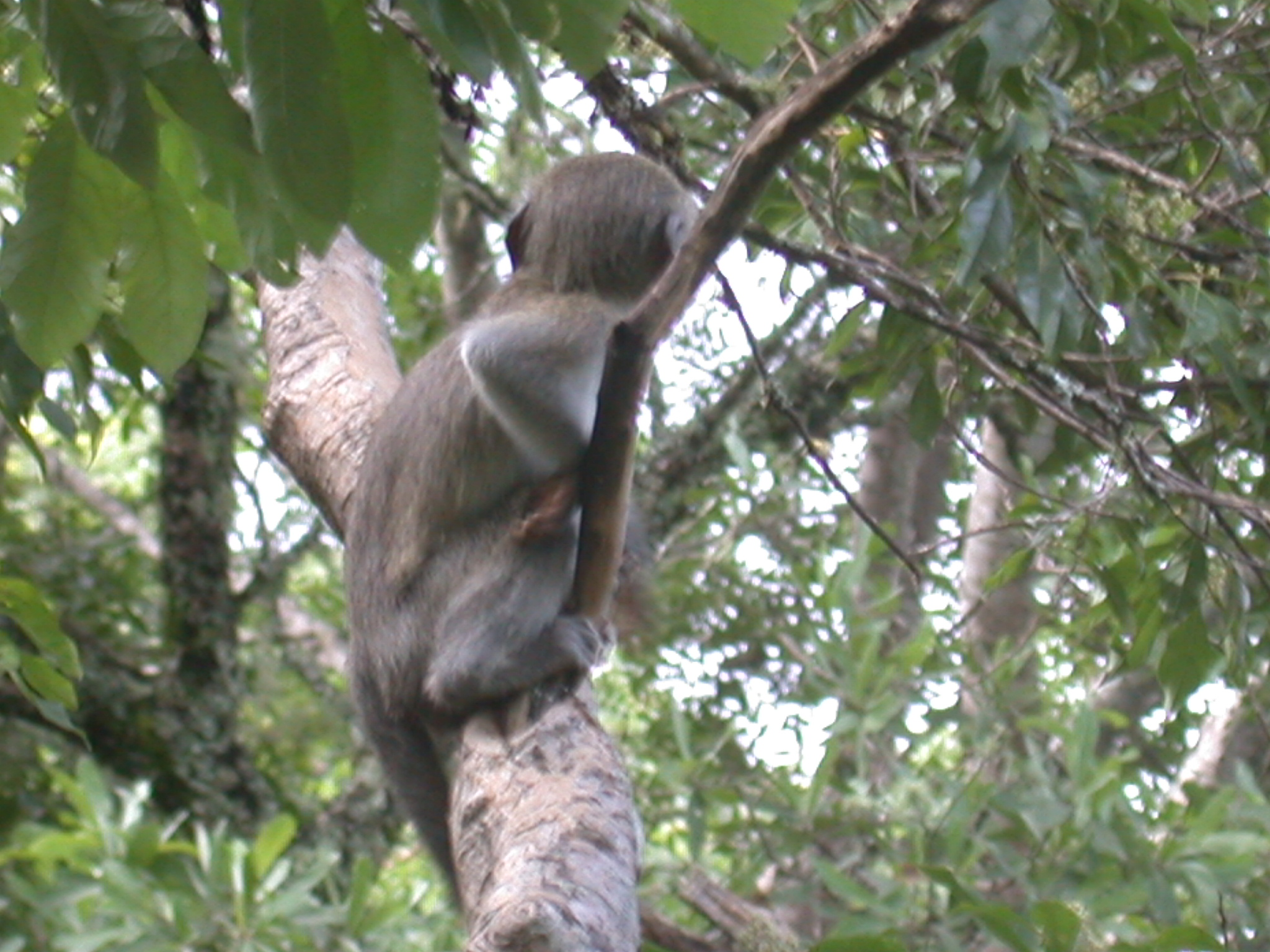 Monkey Climbing Tree Outside My Suite at the Ancient City Lodge, Great Zimbabwe, Outside Masvingo, Zimbabwe