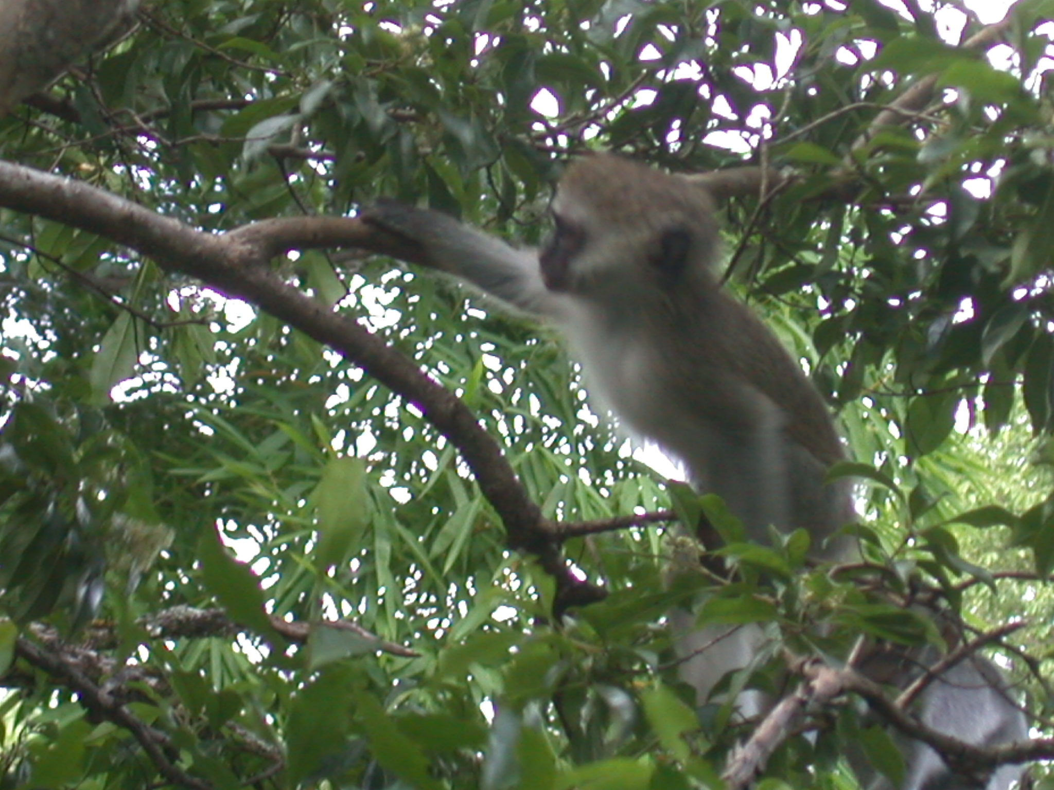 Monkey Perched in Tree Outside My Suite at the Ancient City Lodge, Great Zimbabwe, Outside Masvingo, Zimbabwe
