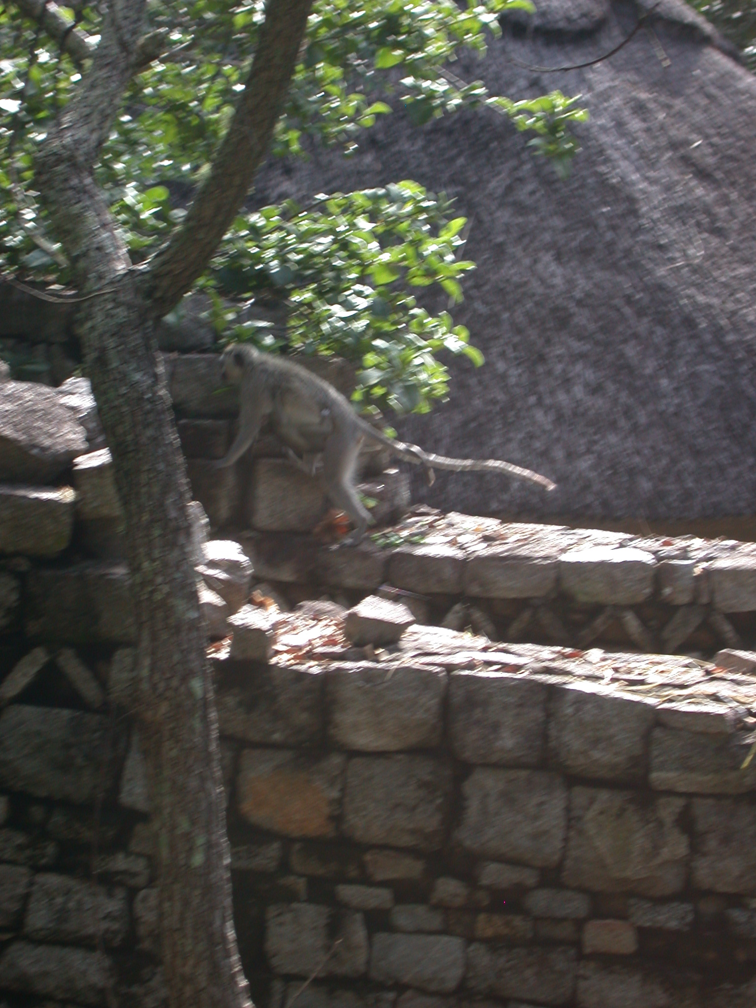 Monkey Holding Baby Monkey on Wall Outside My Suite at the Ancient City Lodge, Great Zimbabwe, Outside Masvingo, Zimbabwe