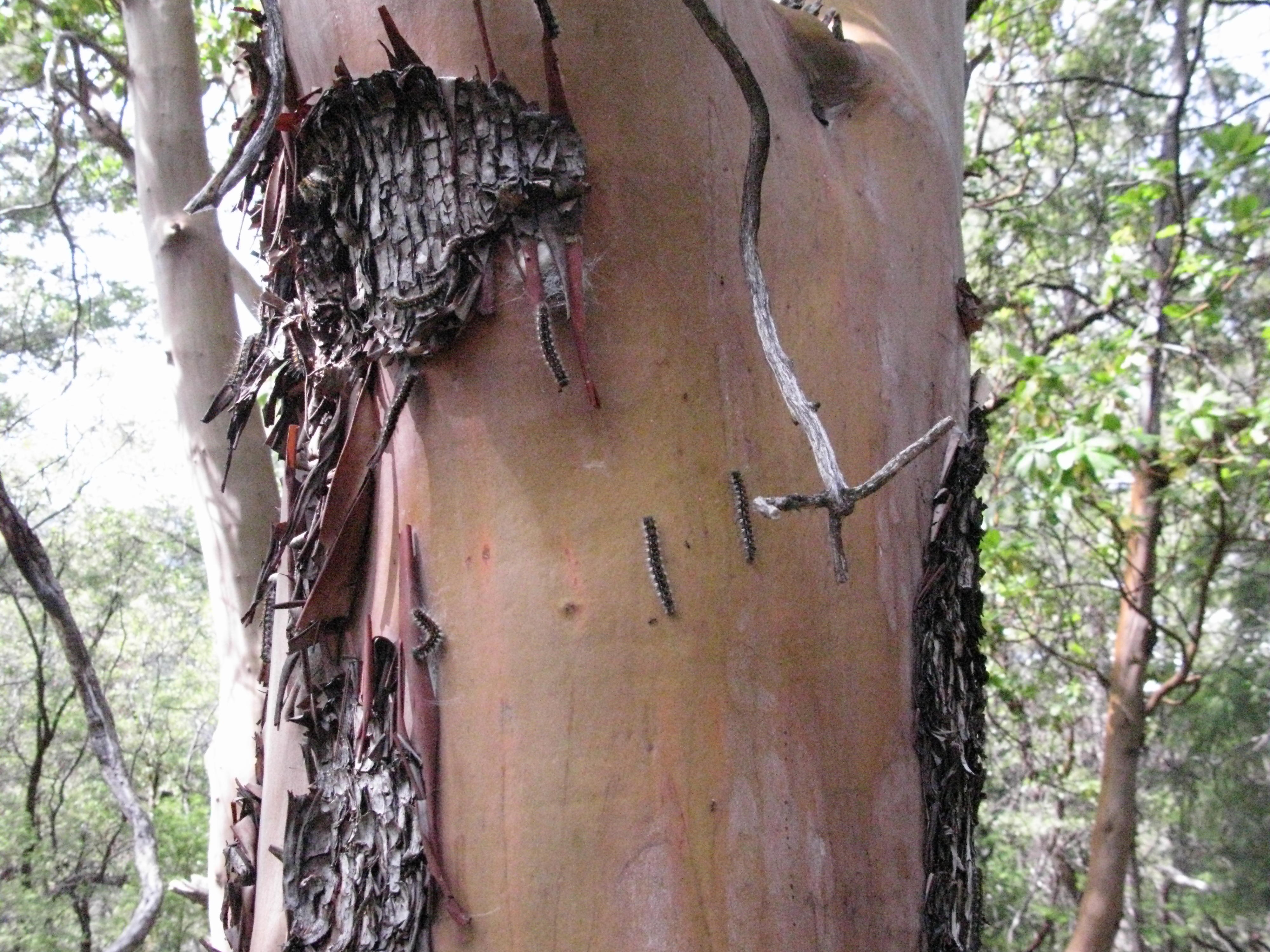Caterpillars in Madrone on Trail to the Eel River, Covelo Yoga and Healing Festival