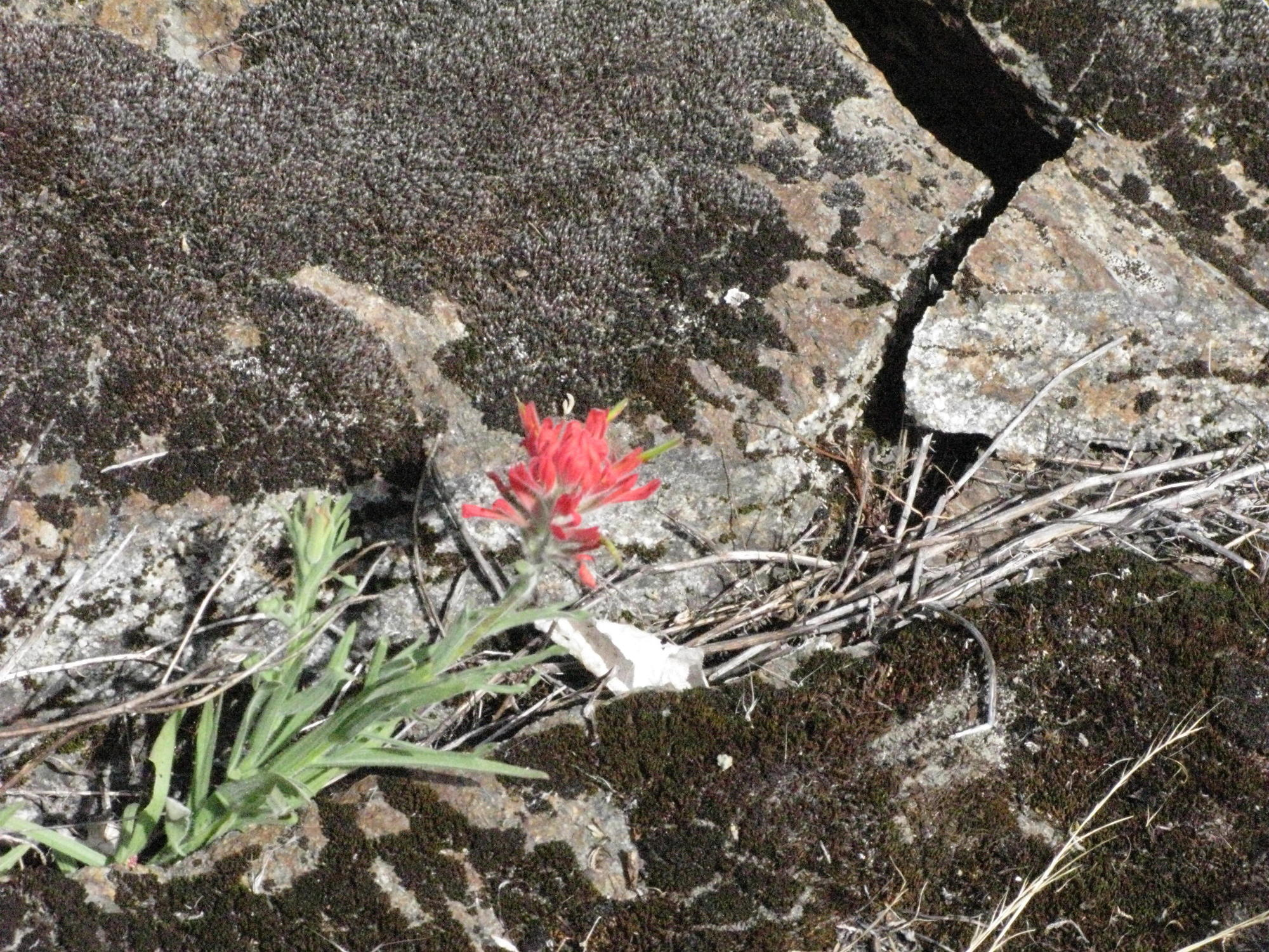 Indian Paintbrush on Shore Near Eel River, Covelo Yoga and Healing Festival