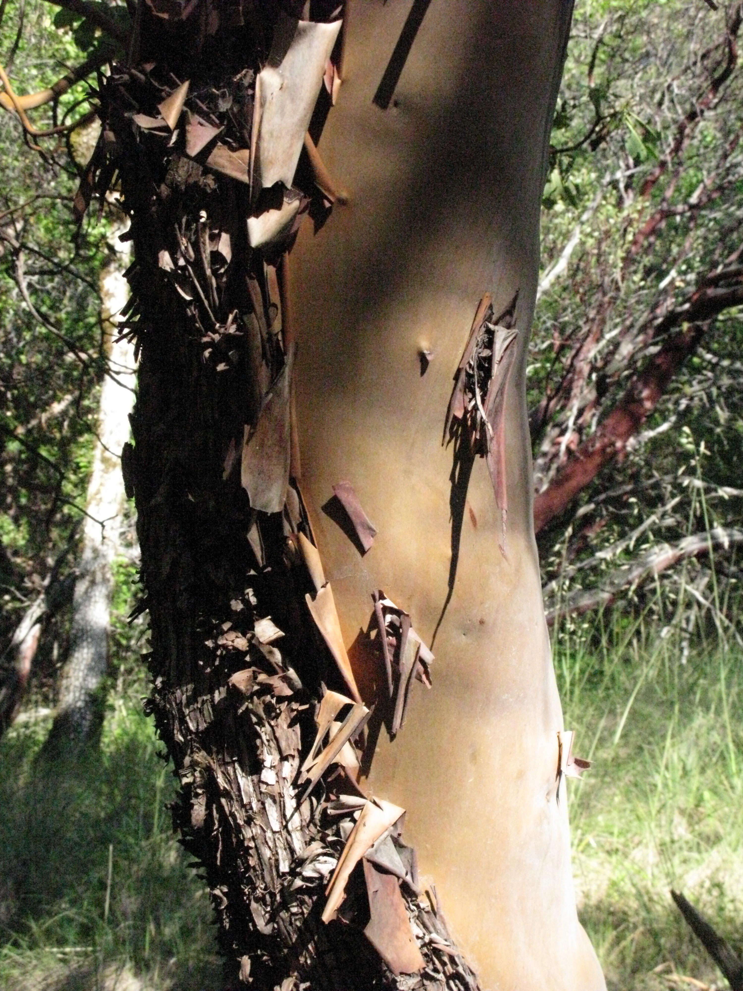 Madrone on Trail to the Eel River, Covelo Yoga and Healing Festival