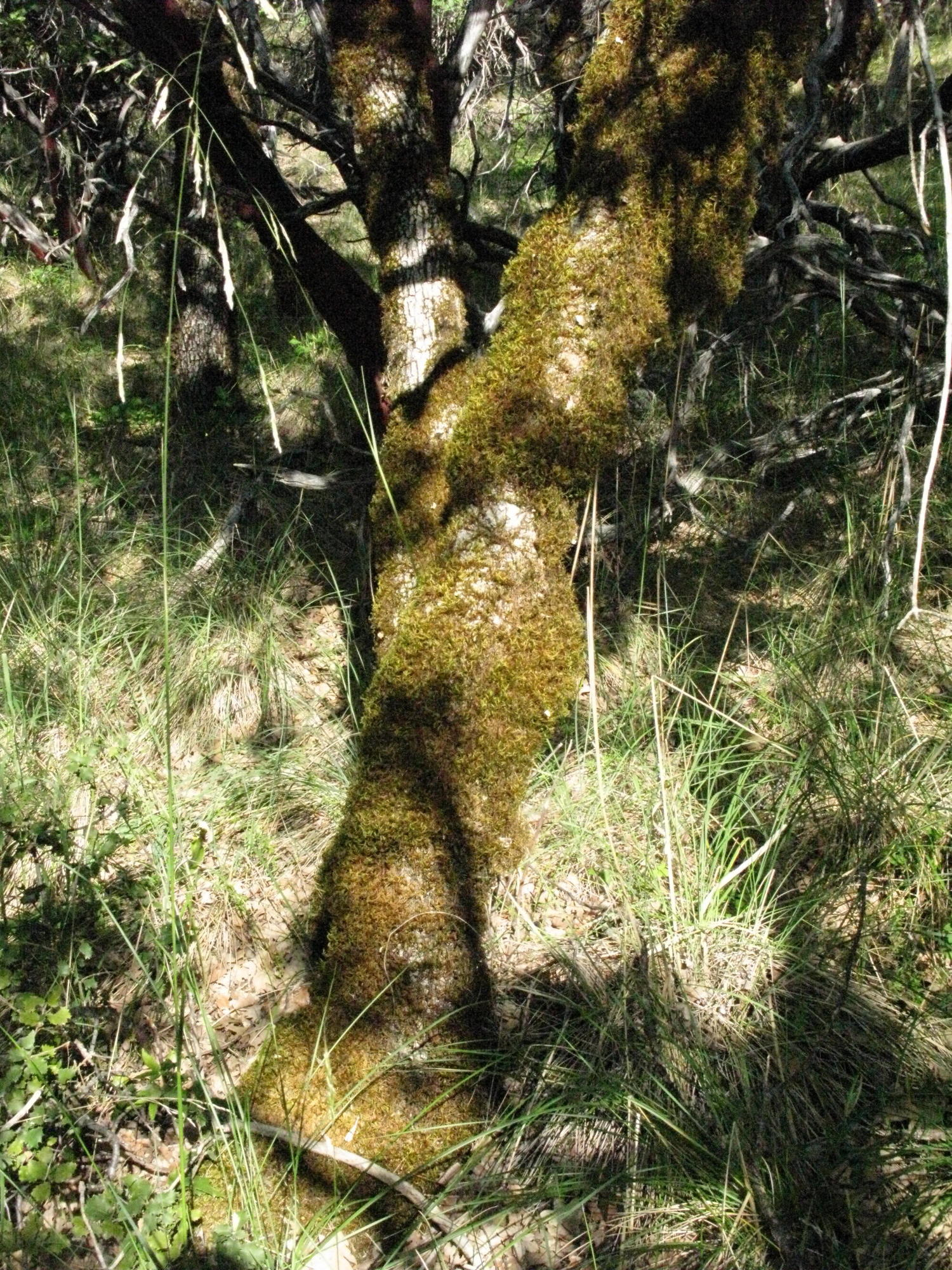 Mossy Tree on Trail to the Eel River, Covelo Yoga and Healing Festival