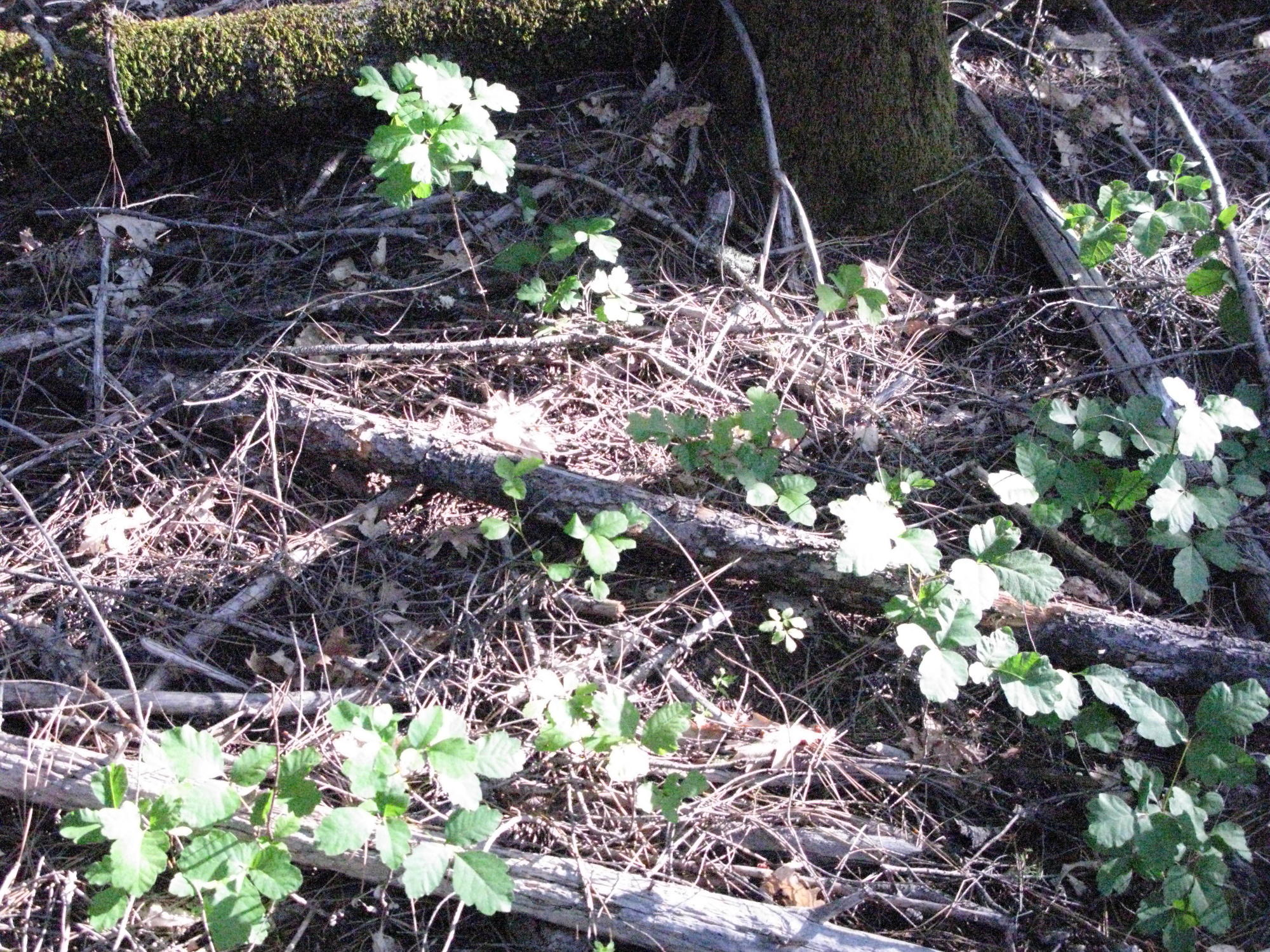 Poison Oak on Trail to the Eel River, Covelo Yoga and Healing Festival