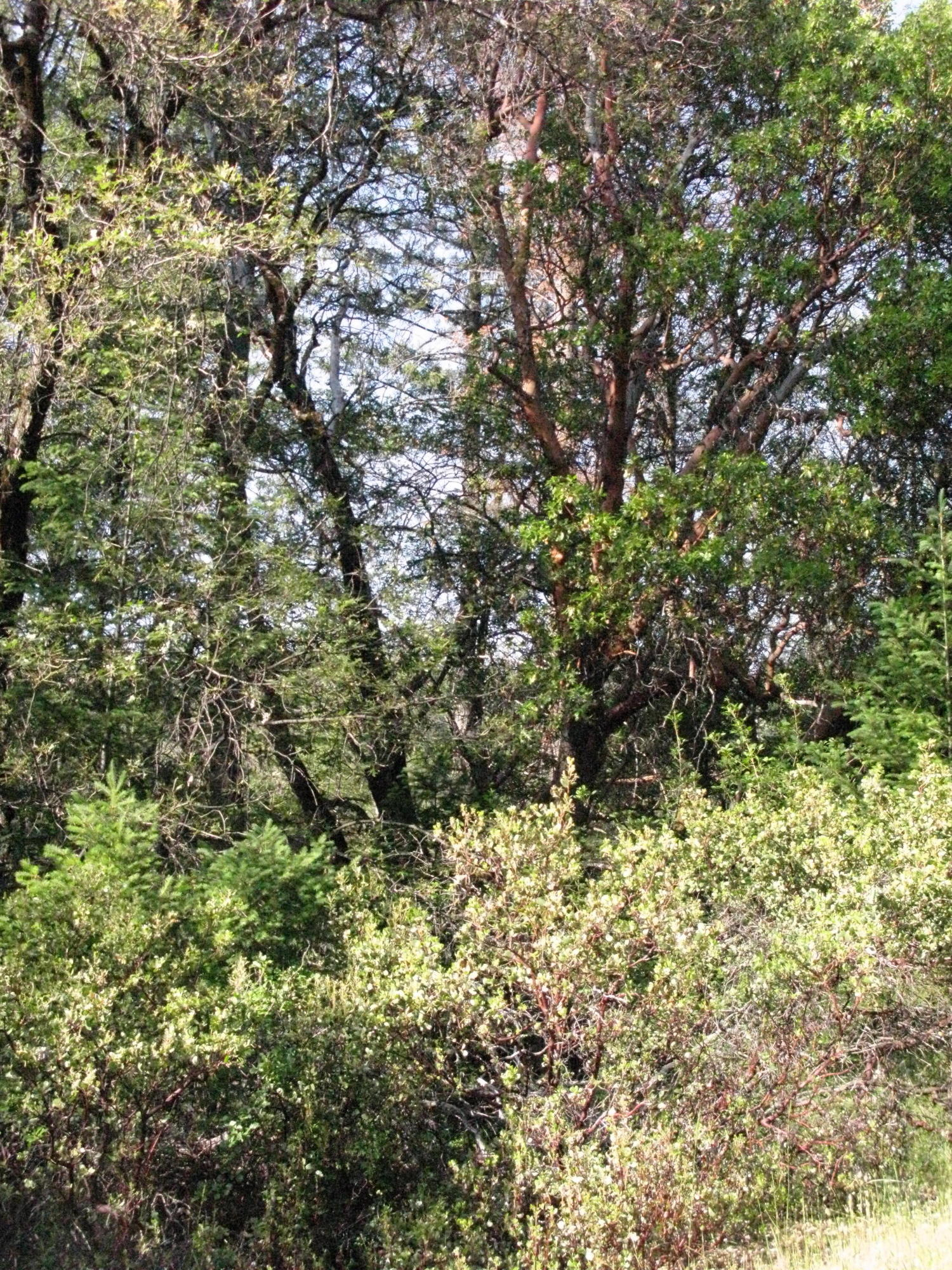 Manzanita With Madrone on Trail to the Eel River, Covelo Yoga and Healing Festival