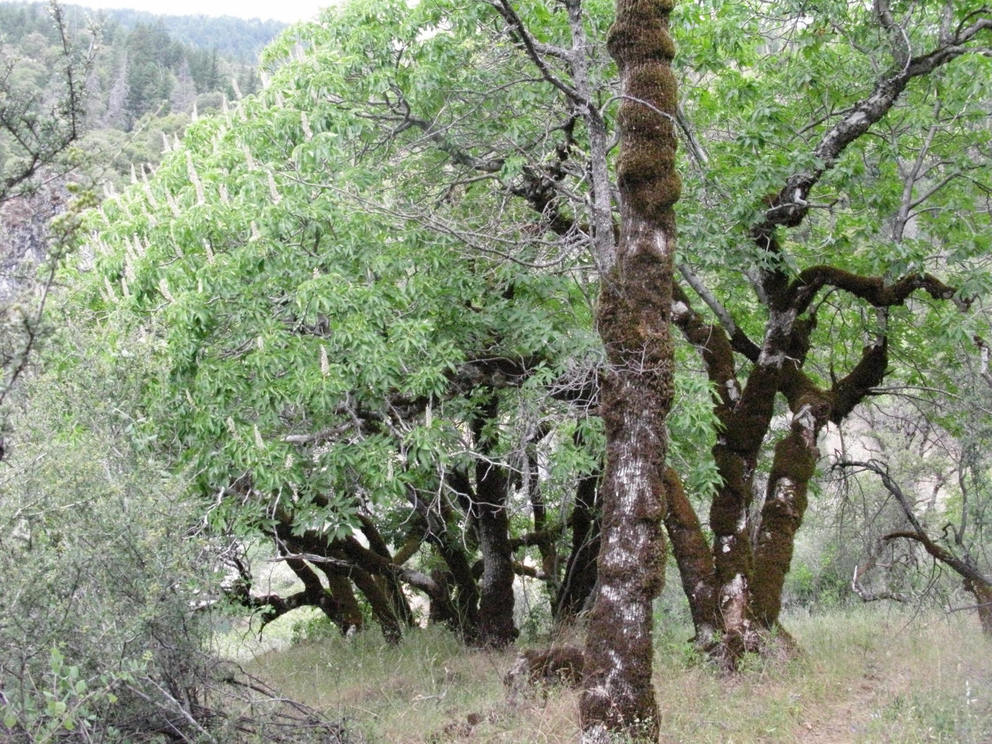 Trees on the Trail to the Eel River, Covelo Yoga and Healing Festival