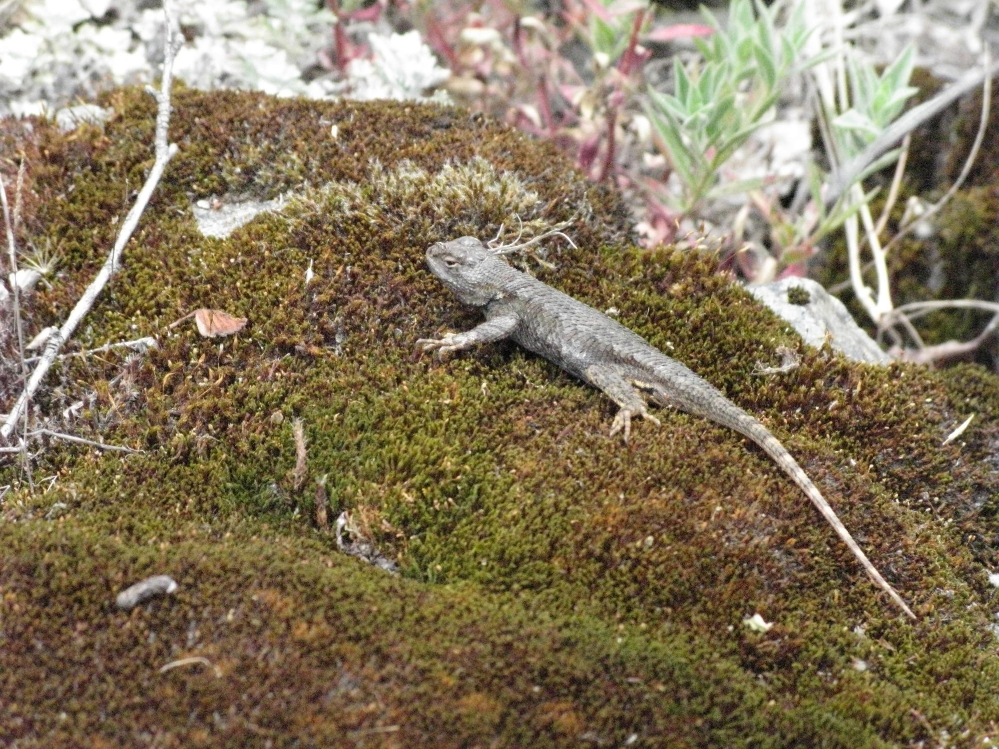 Lizard on Mossy Banks of Eel River, Covelo Yoga and Healing Festival